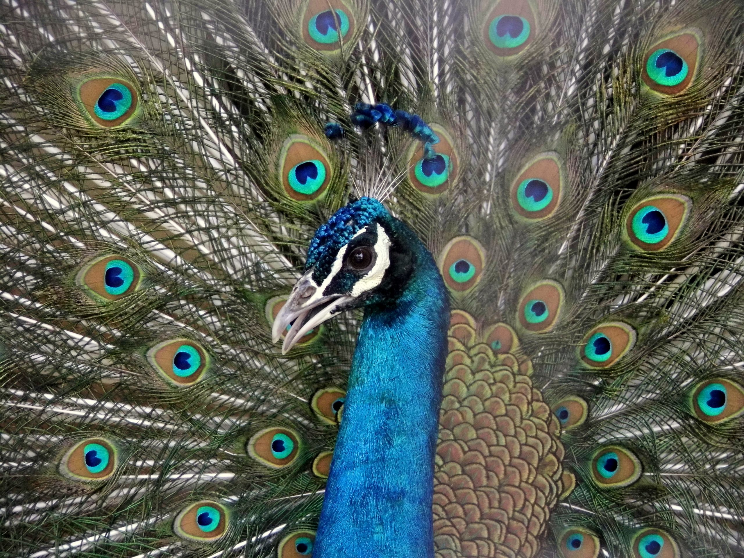 Plumage of a peacock