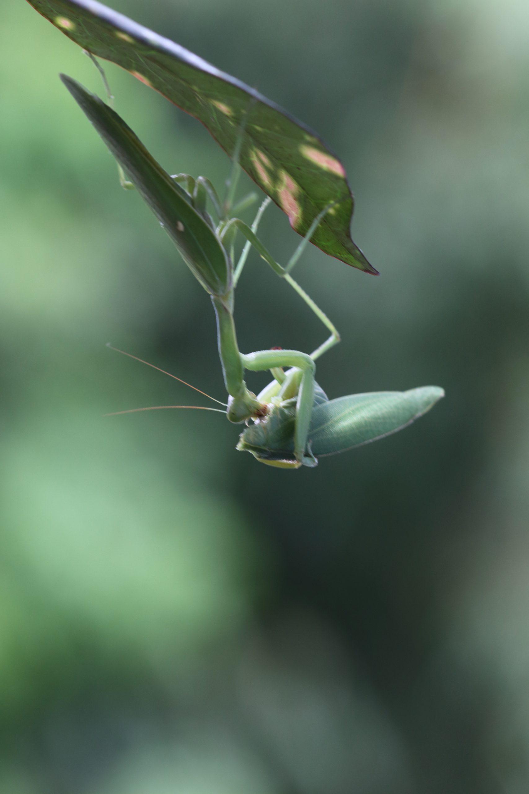 A mantis on a leaf