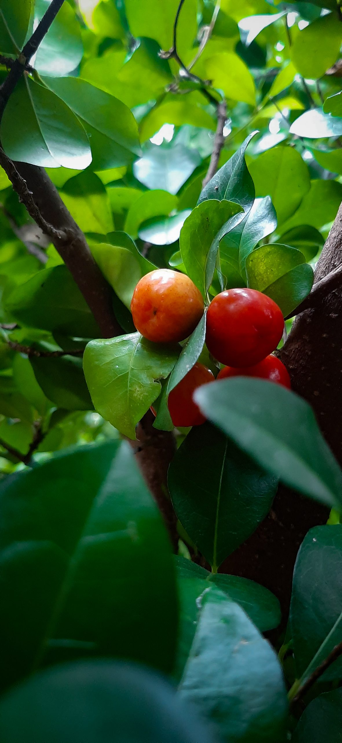 Red cherry on its plant
