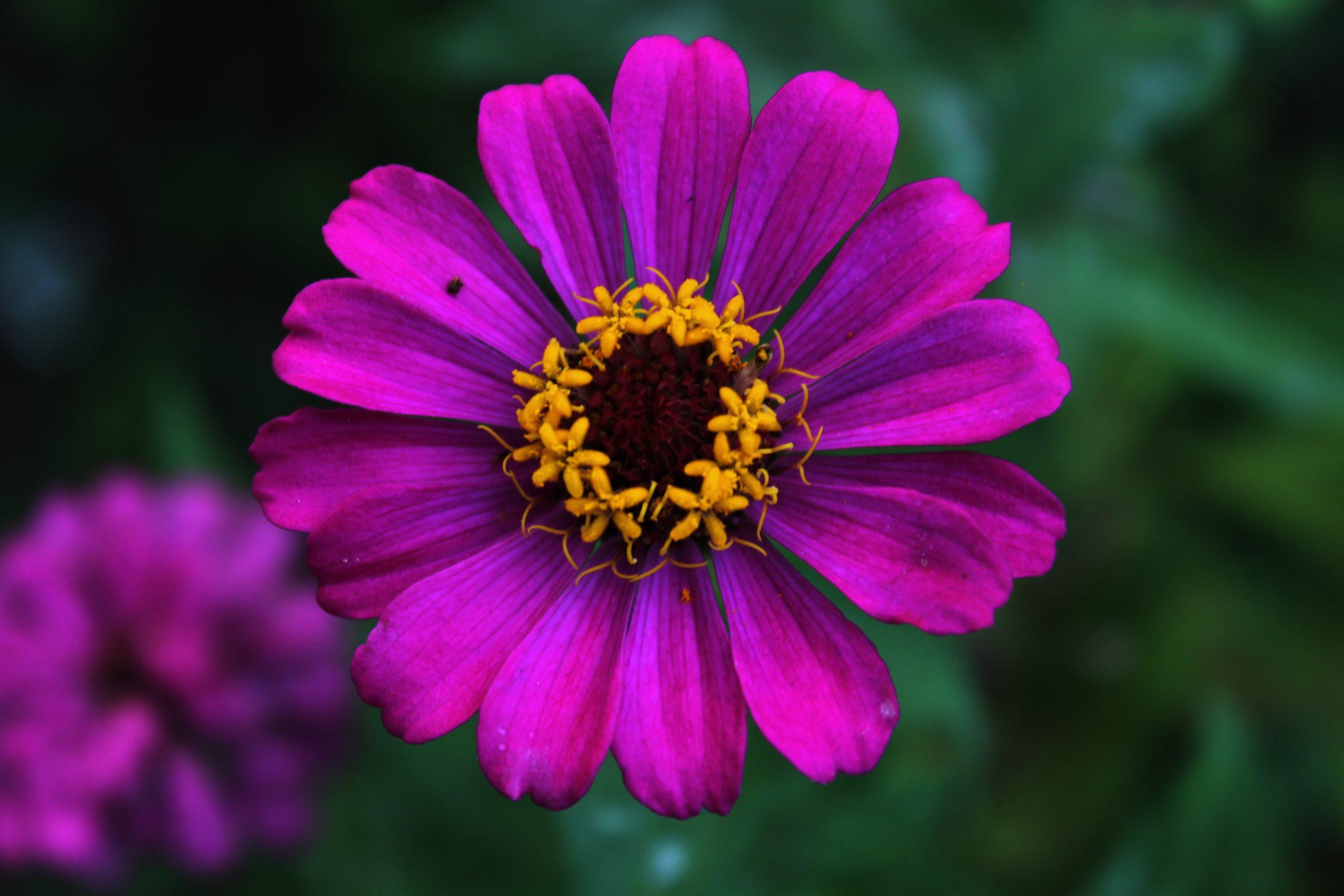 Single Purple Marigold