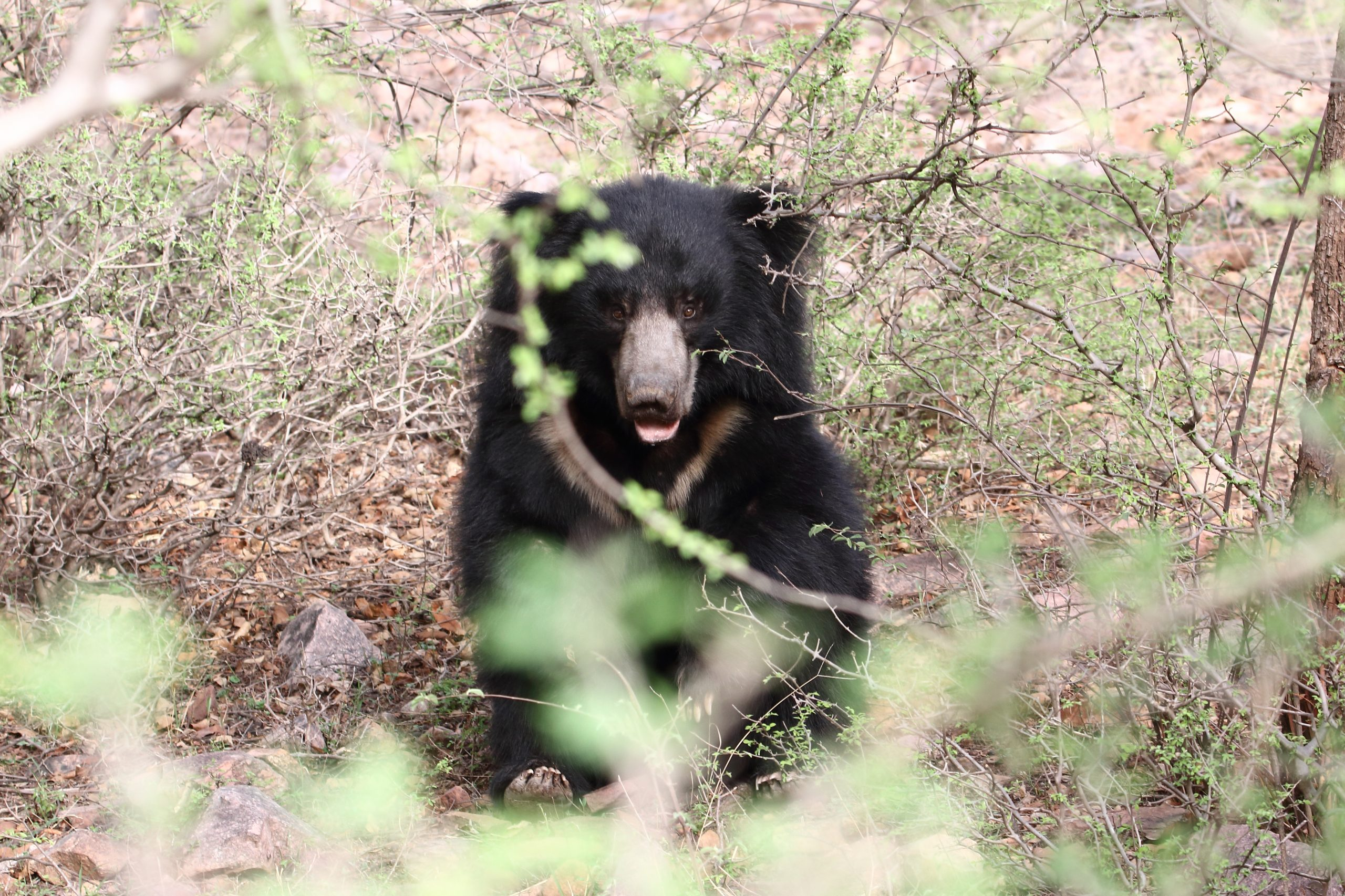 Sloth bear in bush