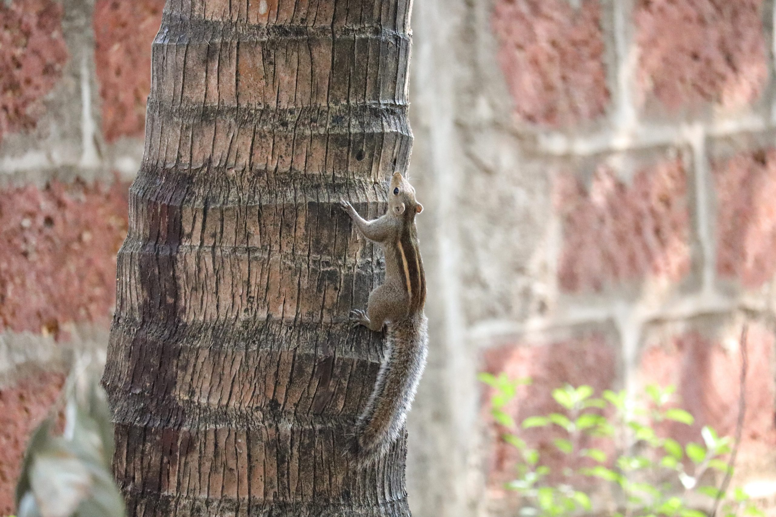 Squirrel climbing on a tree.