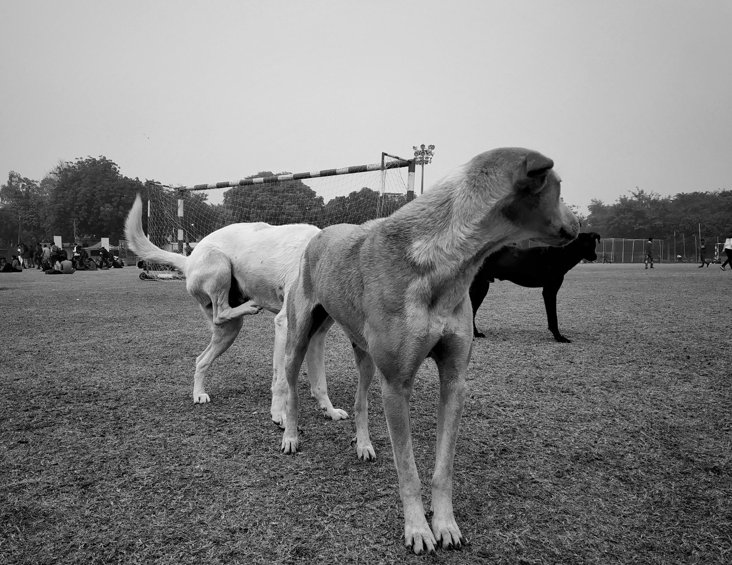 Stray dogs in football ground