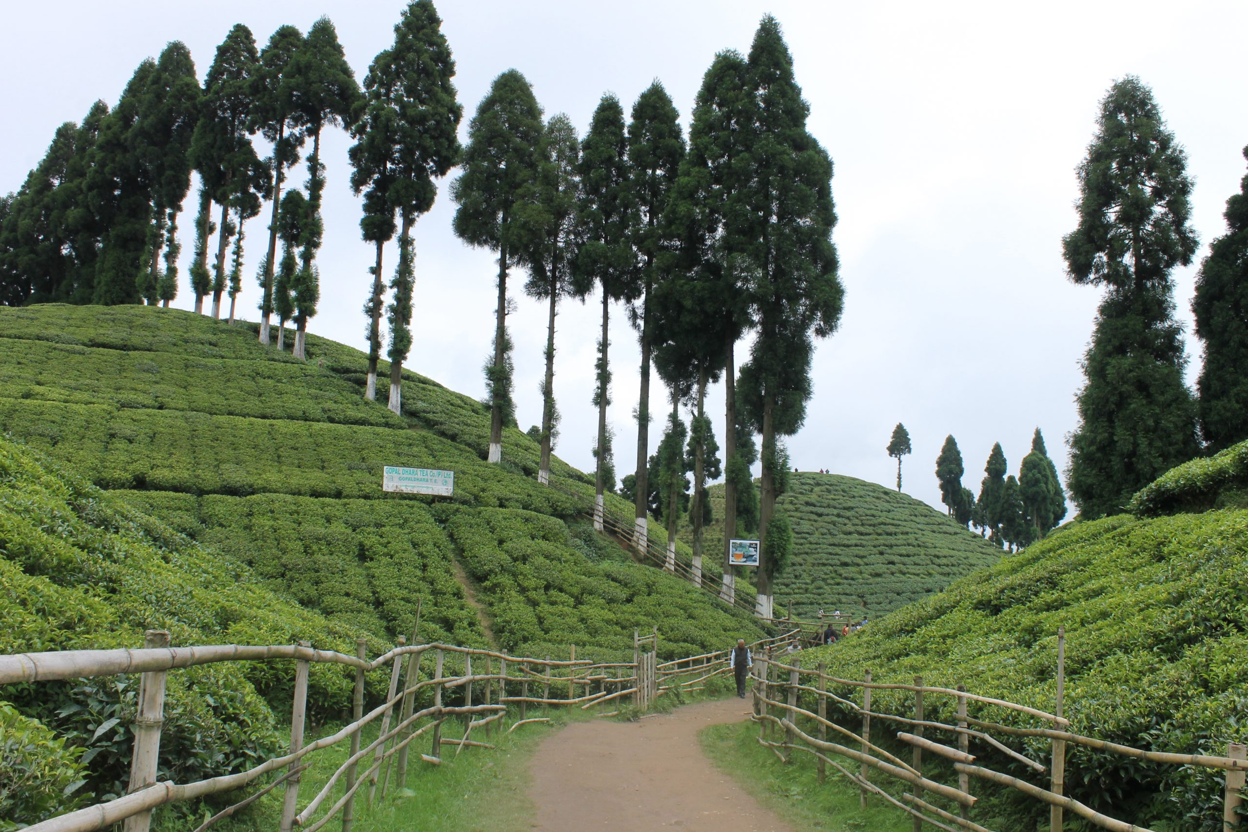 Tea farming in Darjeeling