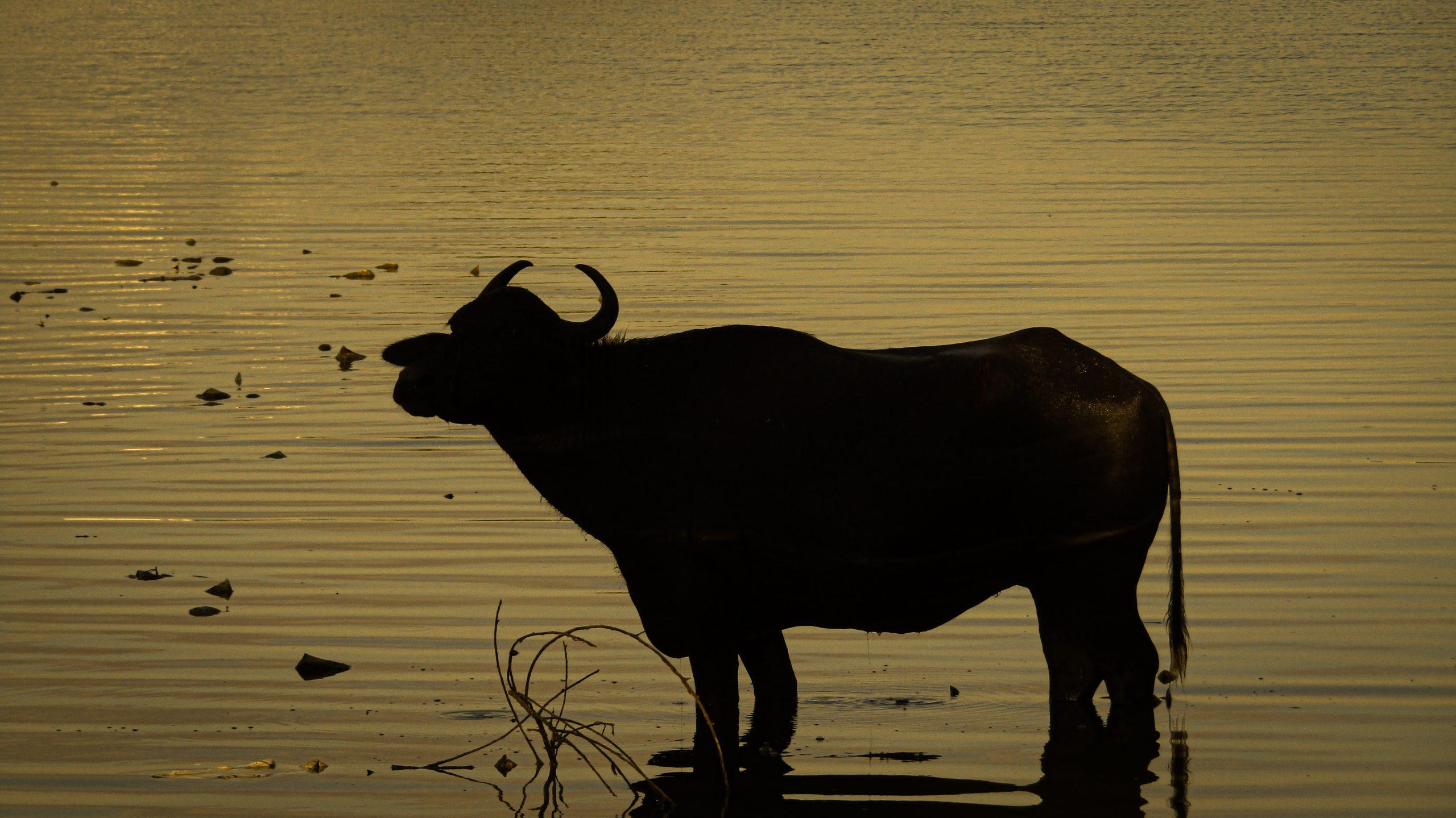 Dark Buffalo