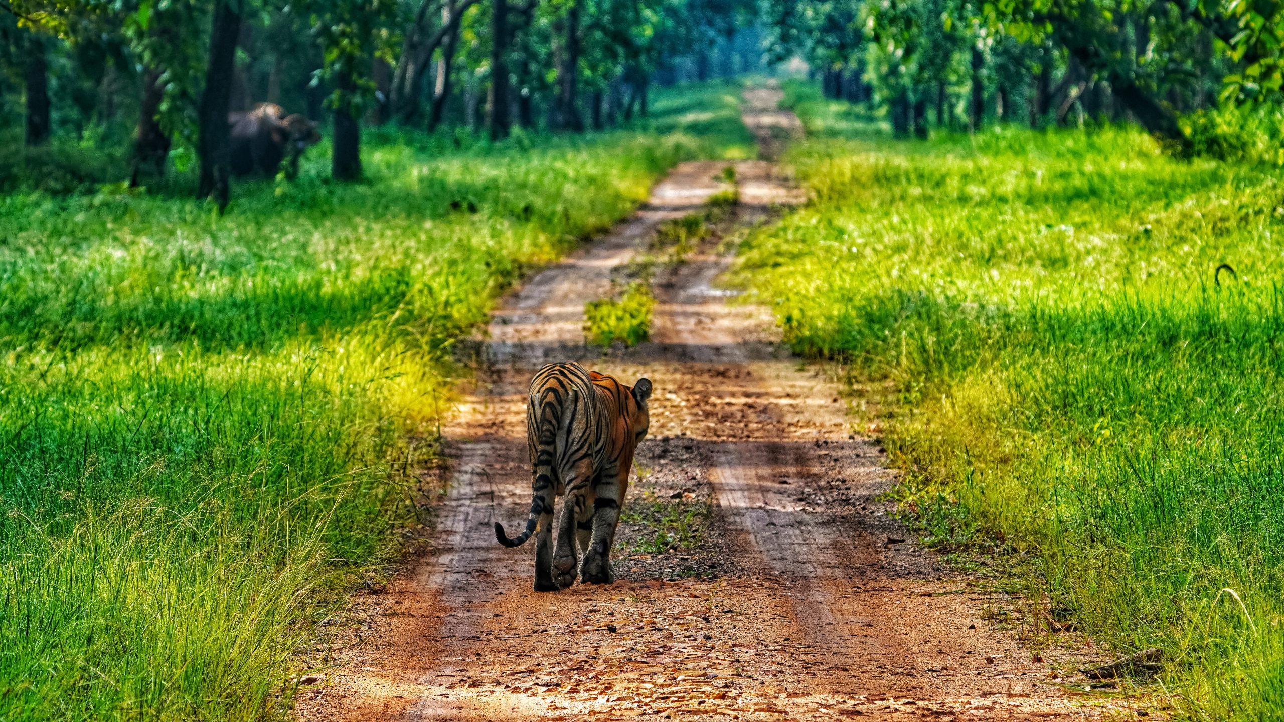 Tiger walking in a wildlife santuary