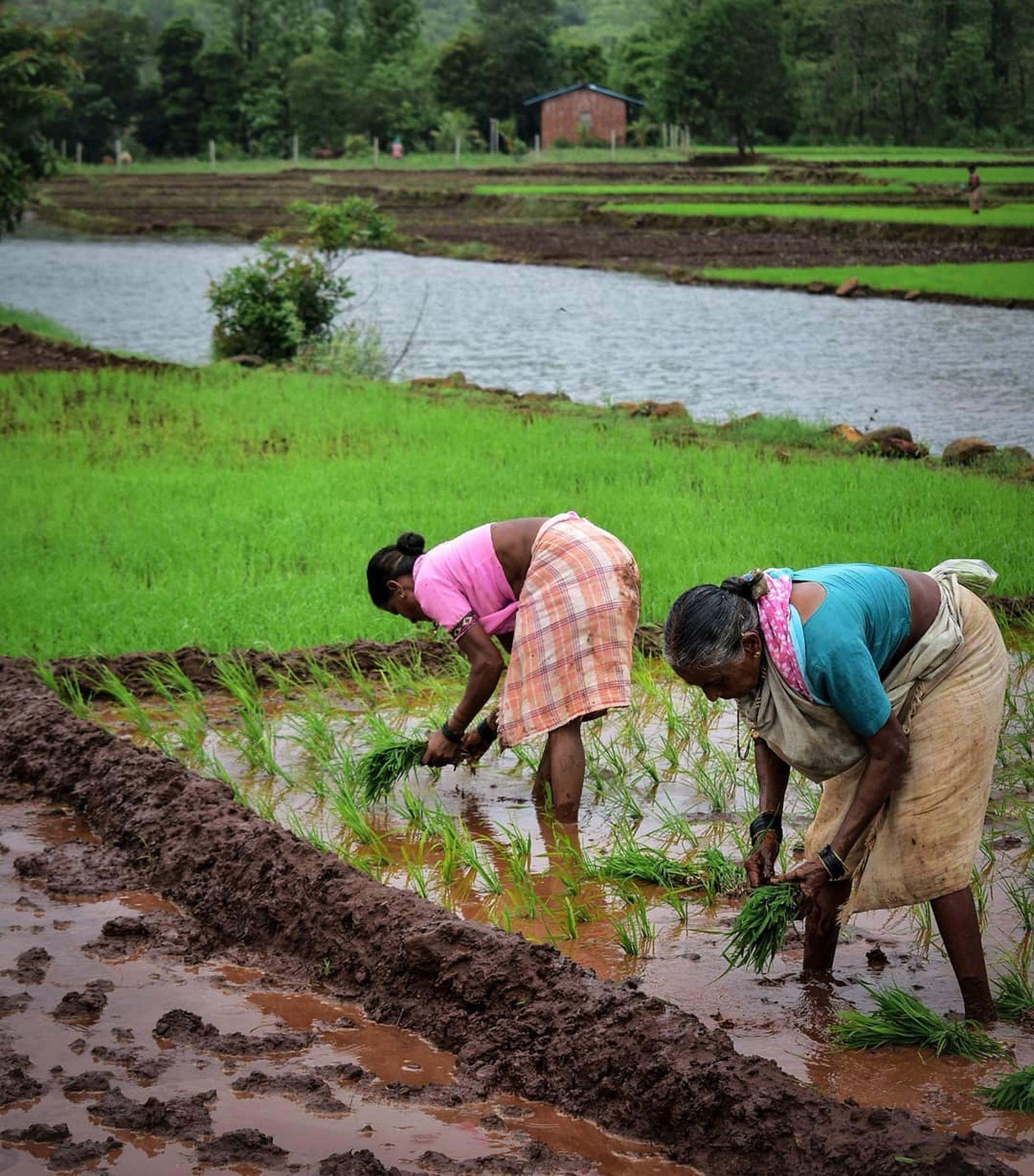 Women in a paddy field