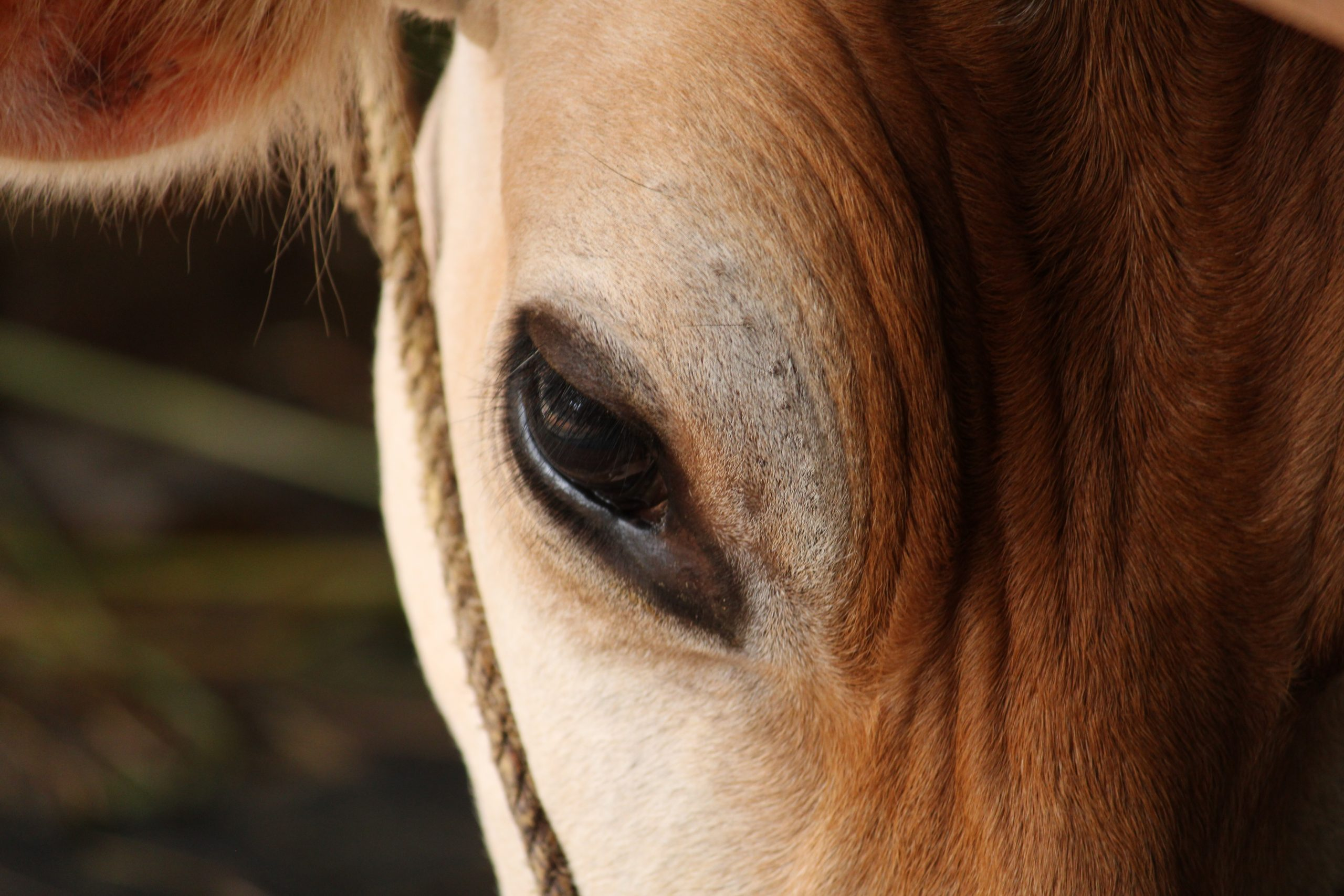 close up of cow's eye