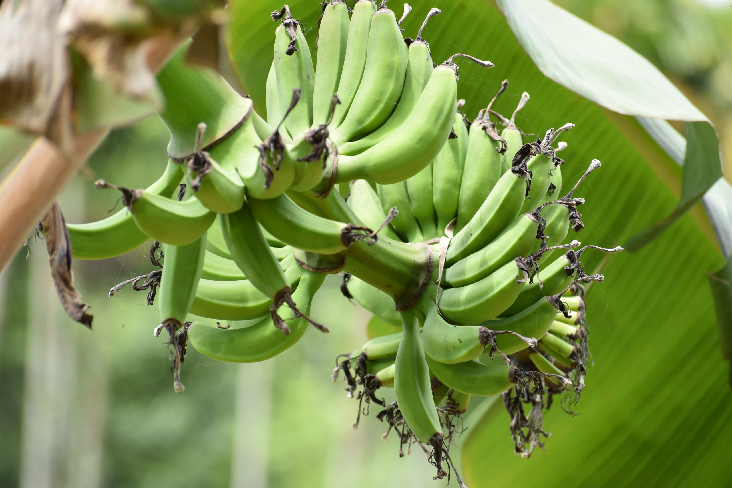 raw bananas on a tree