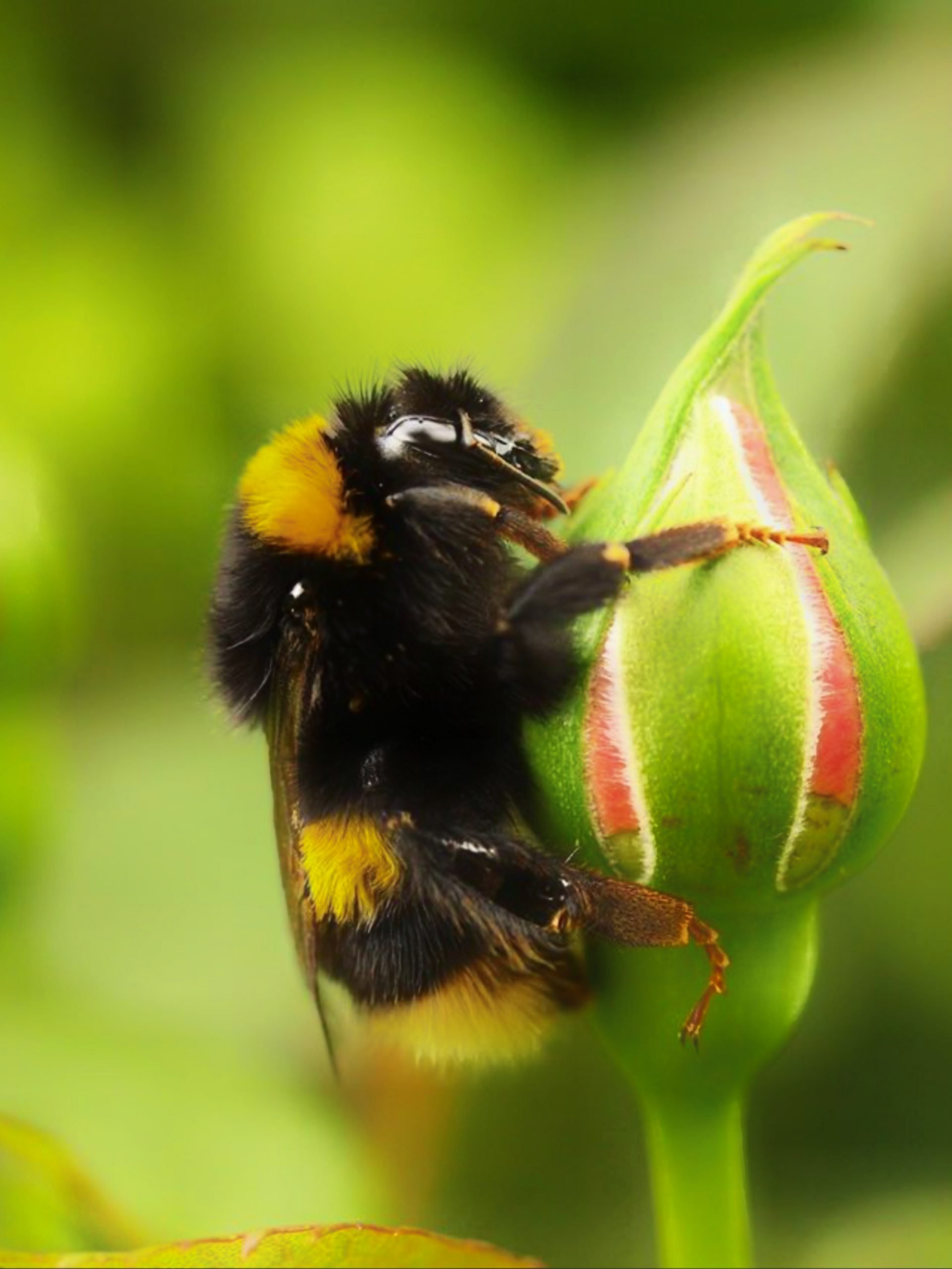 A Bumblebee on flower bud