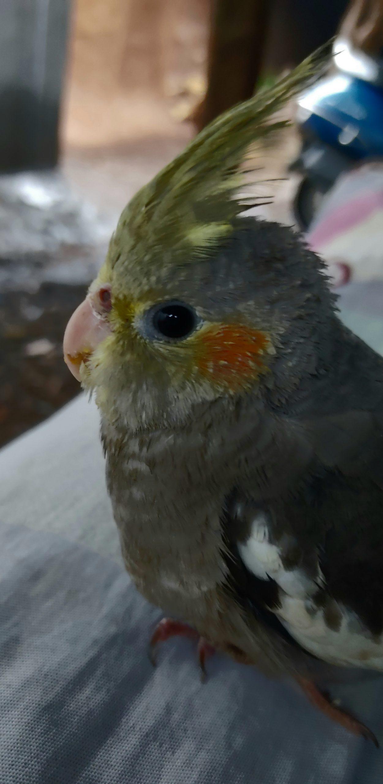A Cockatiel bird