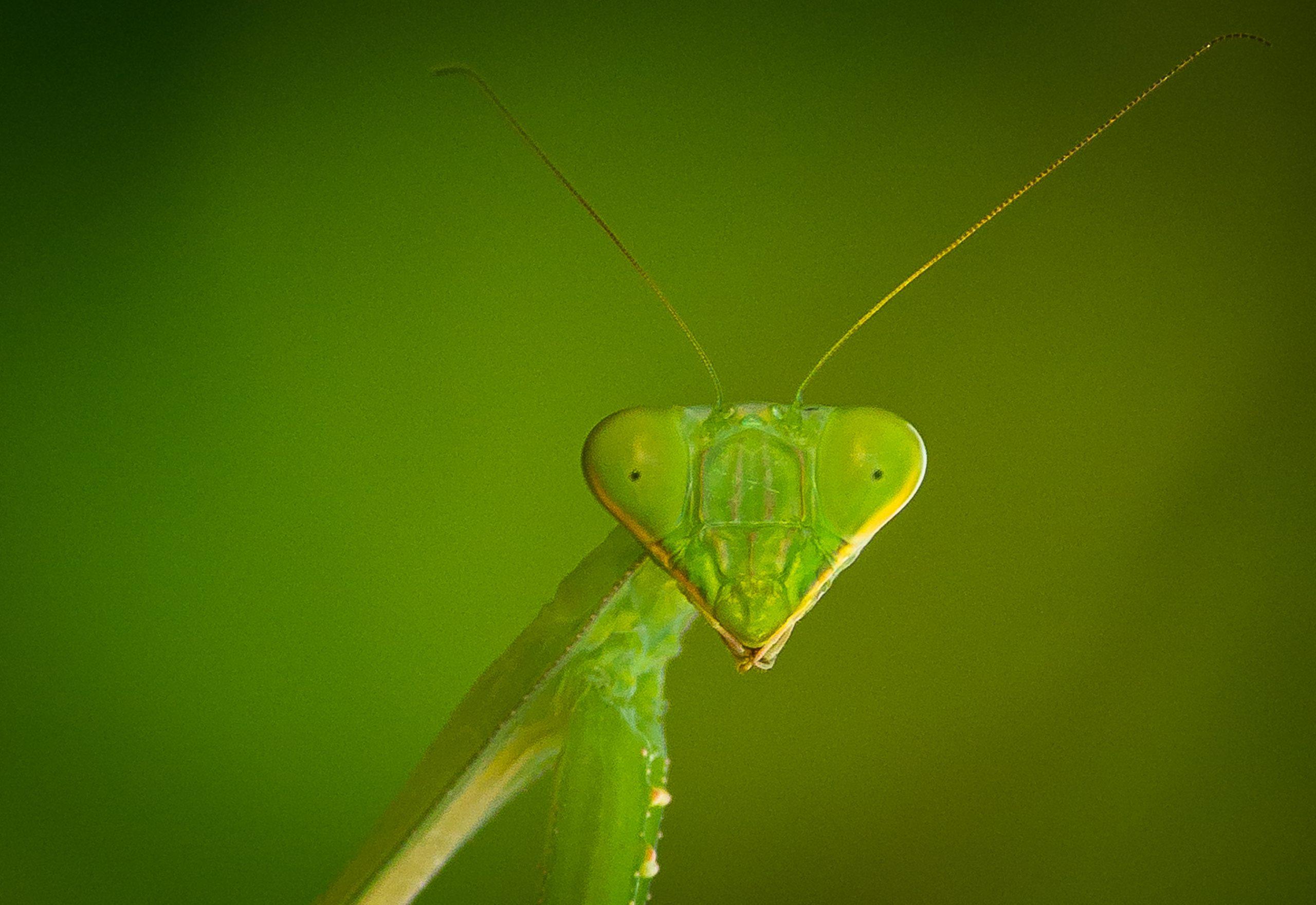 praying matis insect