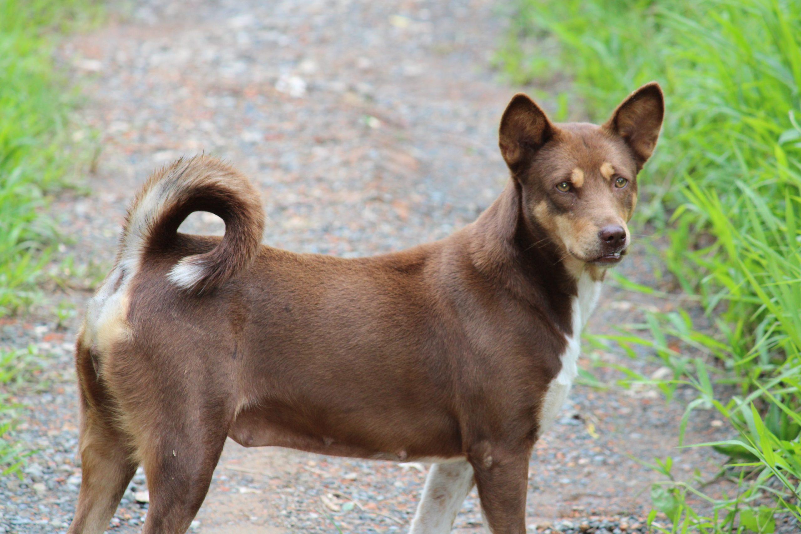 A brown dog