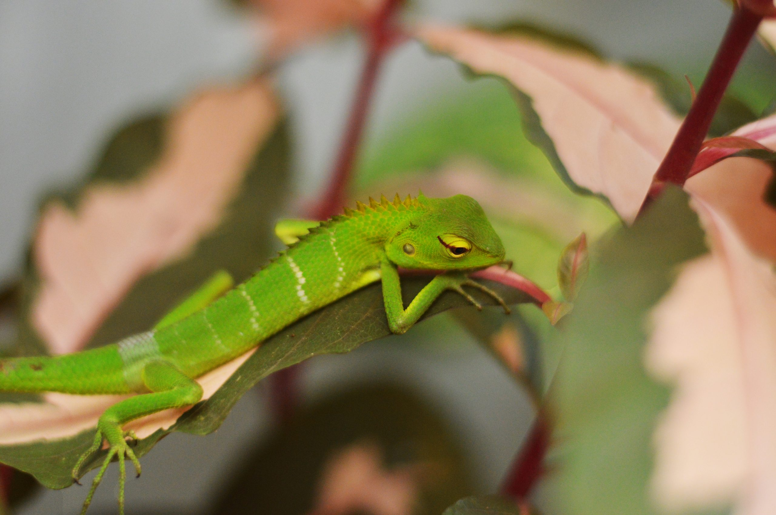 A garden lizard on a plant