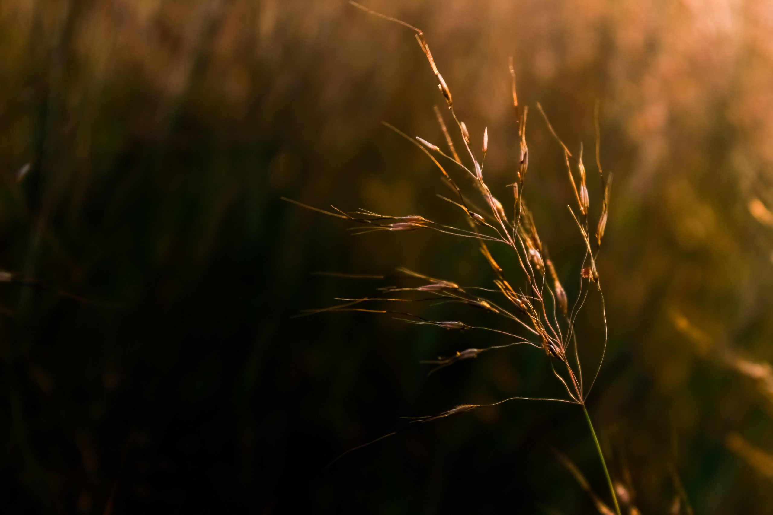 A grass plant