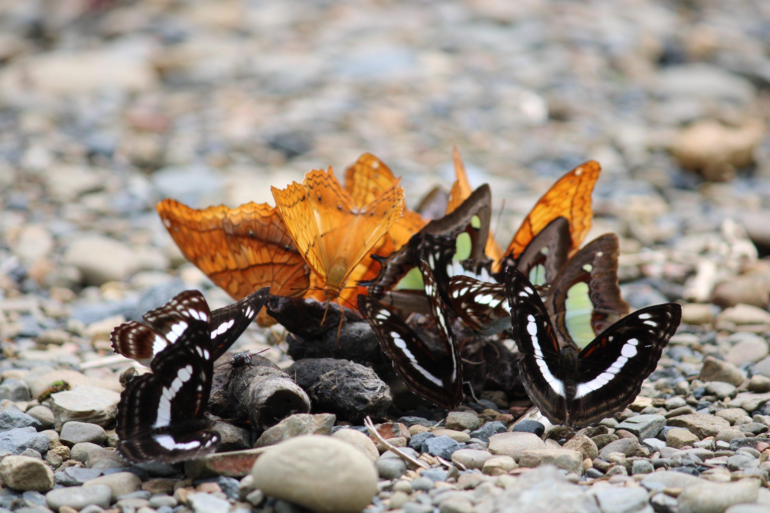 A group of butterflies