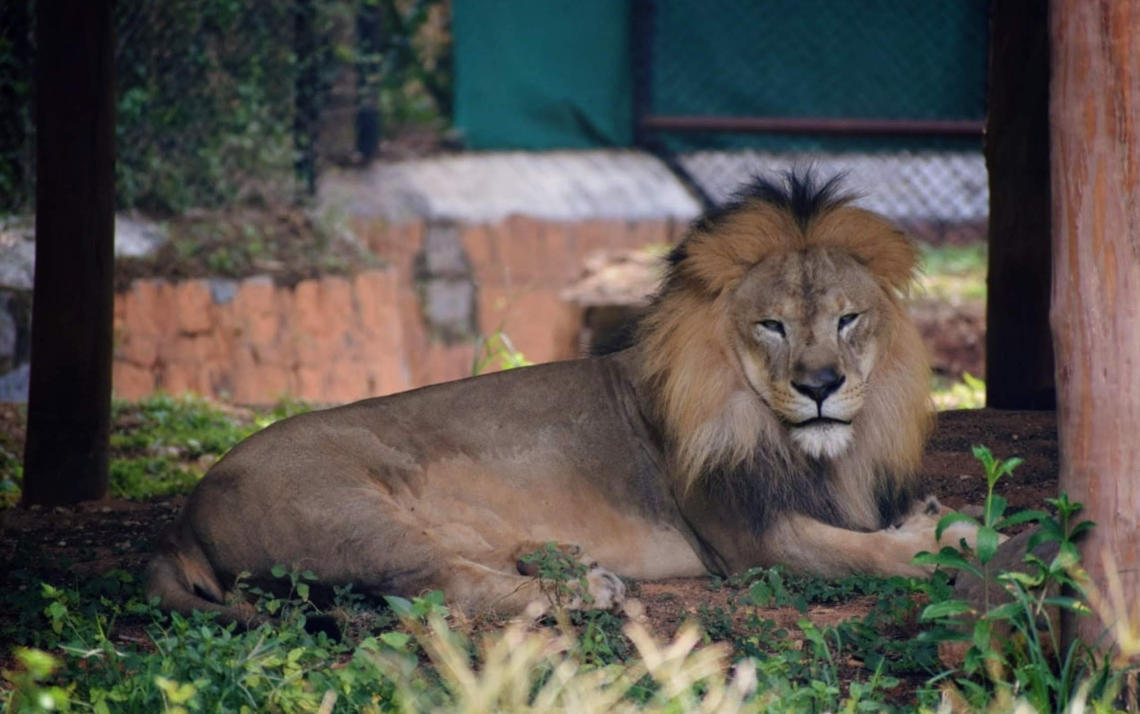 A lion in a zoo