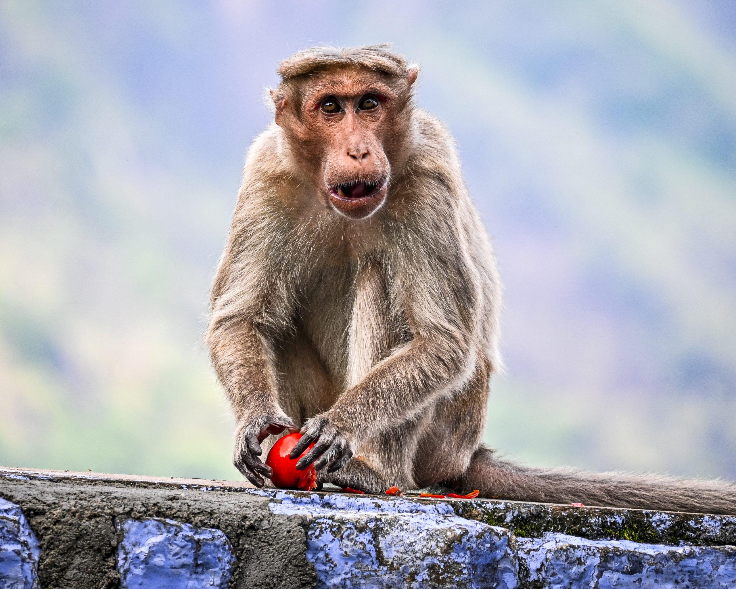 A monkey eating tomato