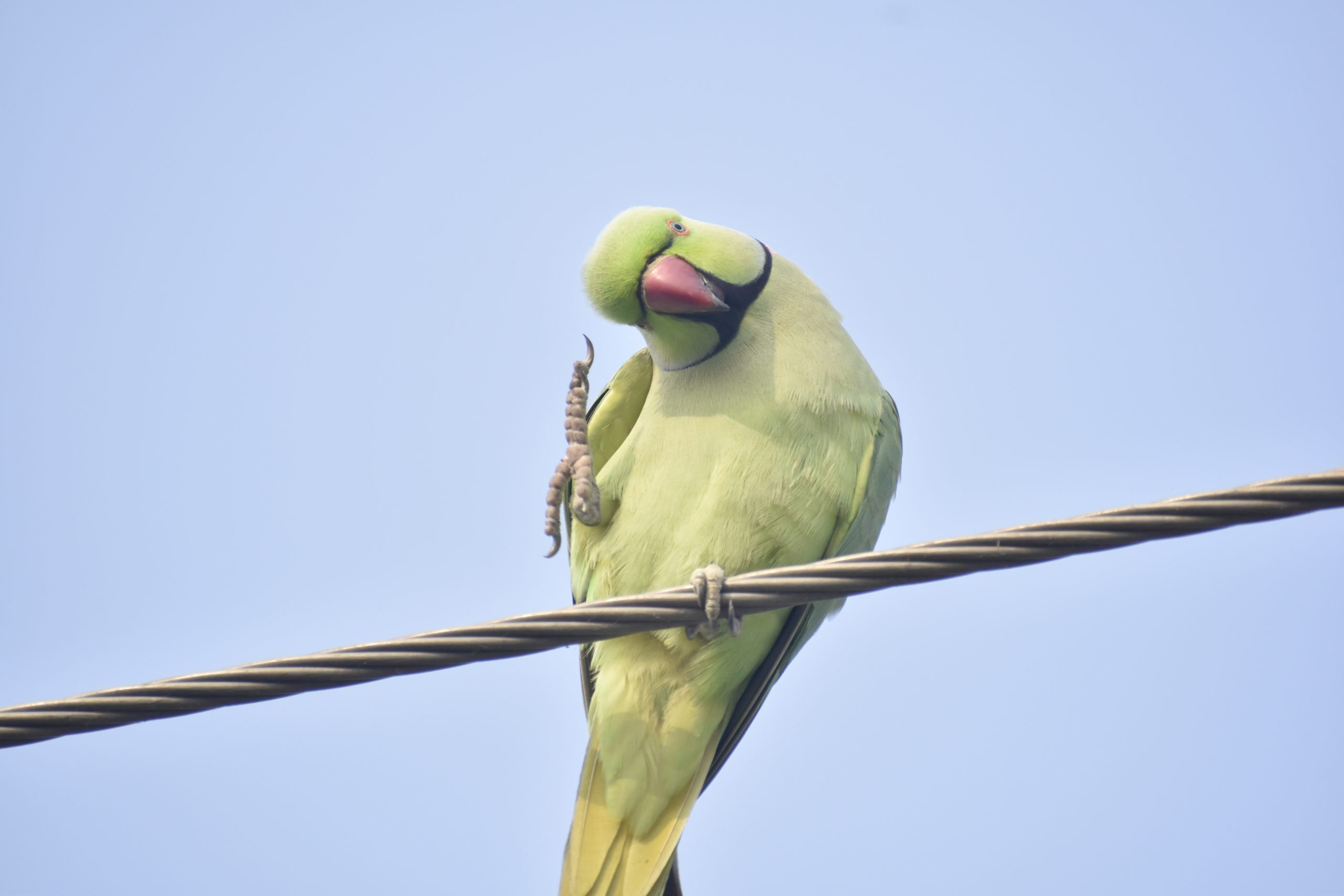 A parrot on an electric wire