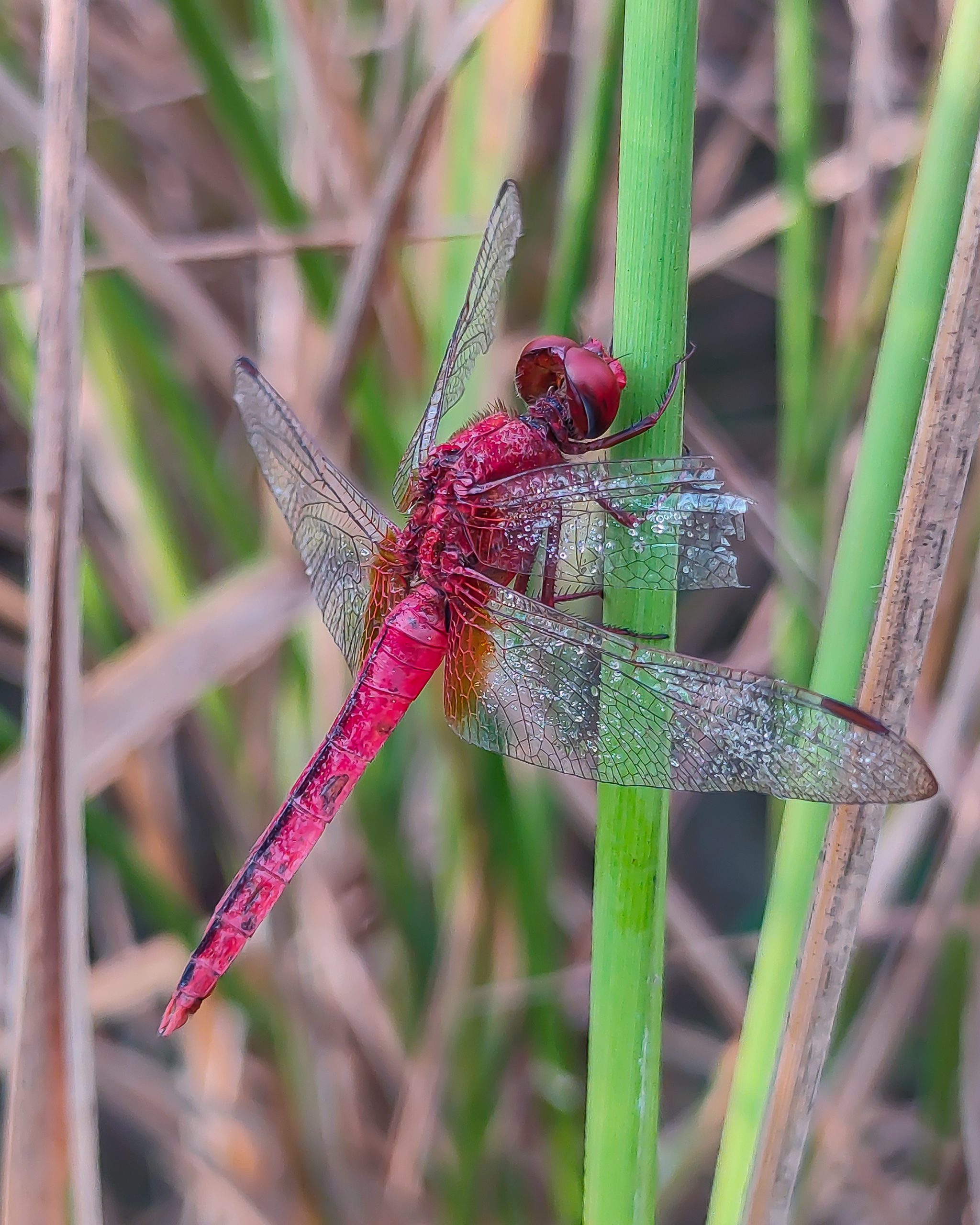 dragon fly on a stem