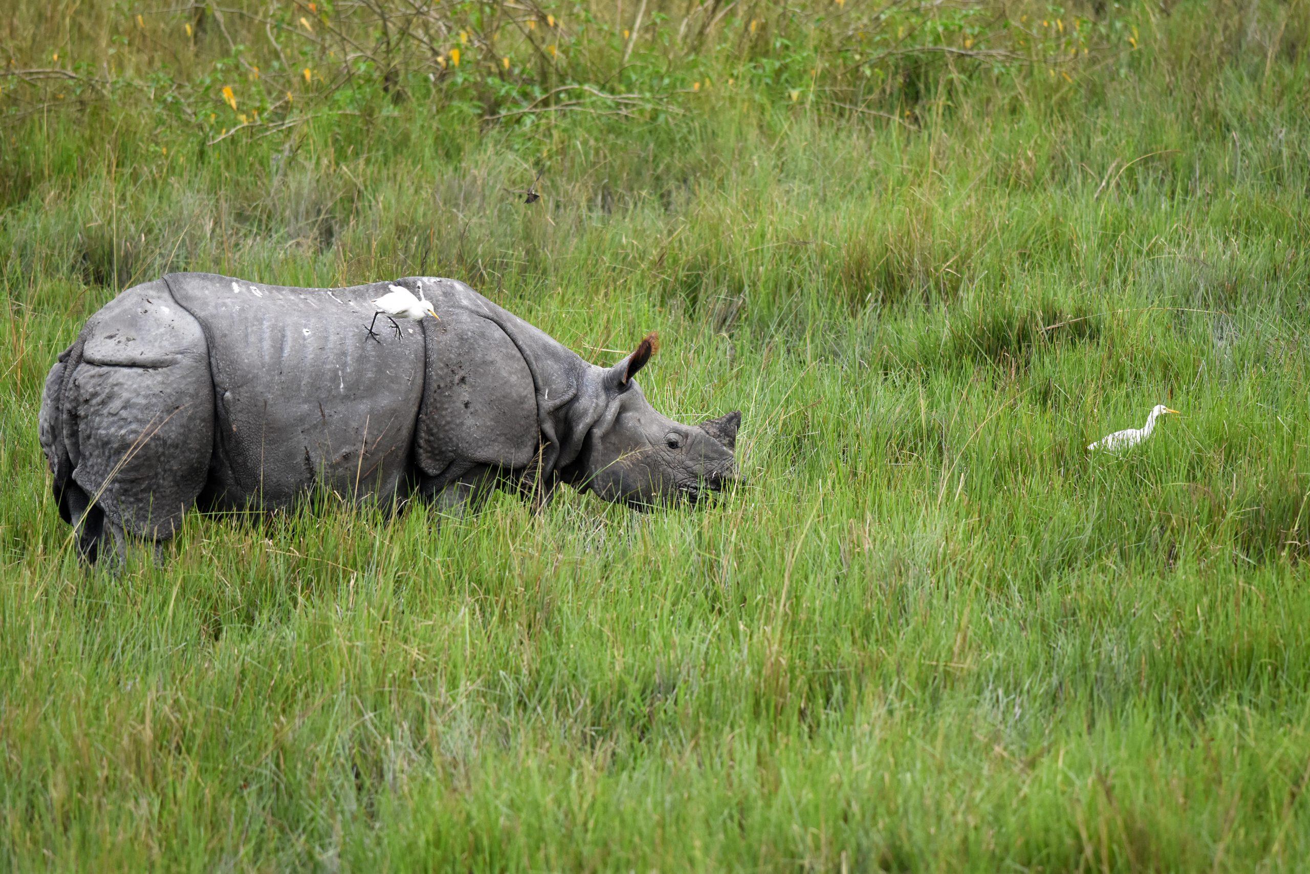 A rhino in a pasture