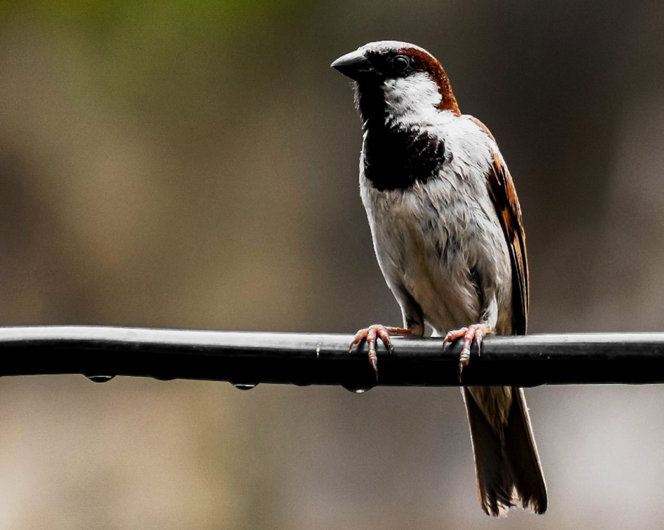 A sparrow on a rope