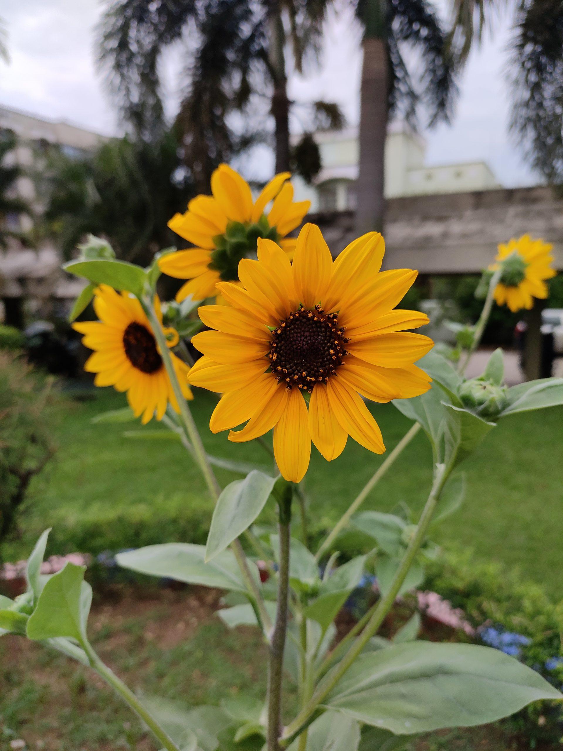 A sunflower plant