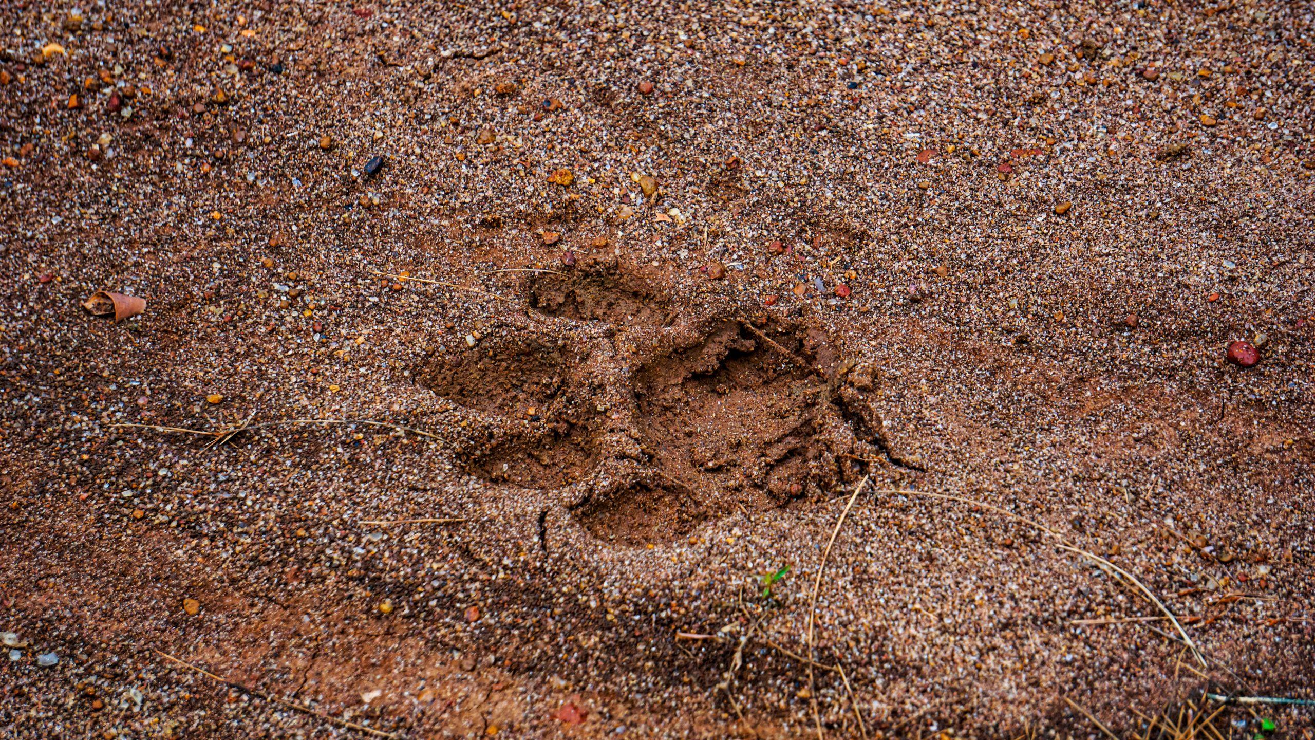 A tiger's footprint
