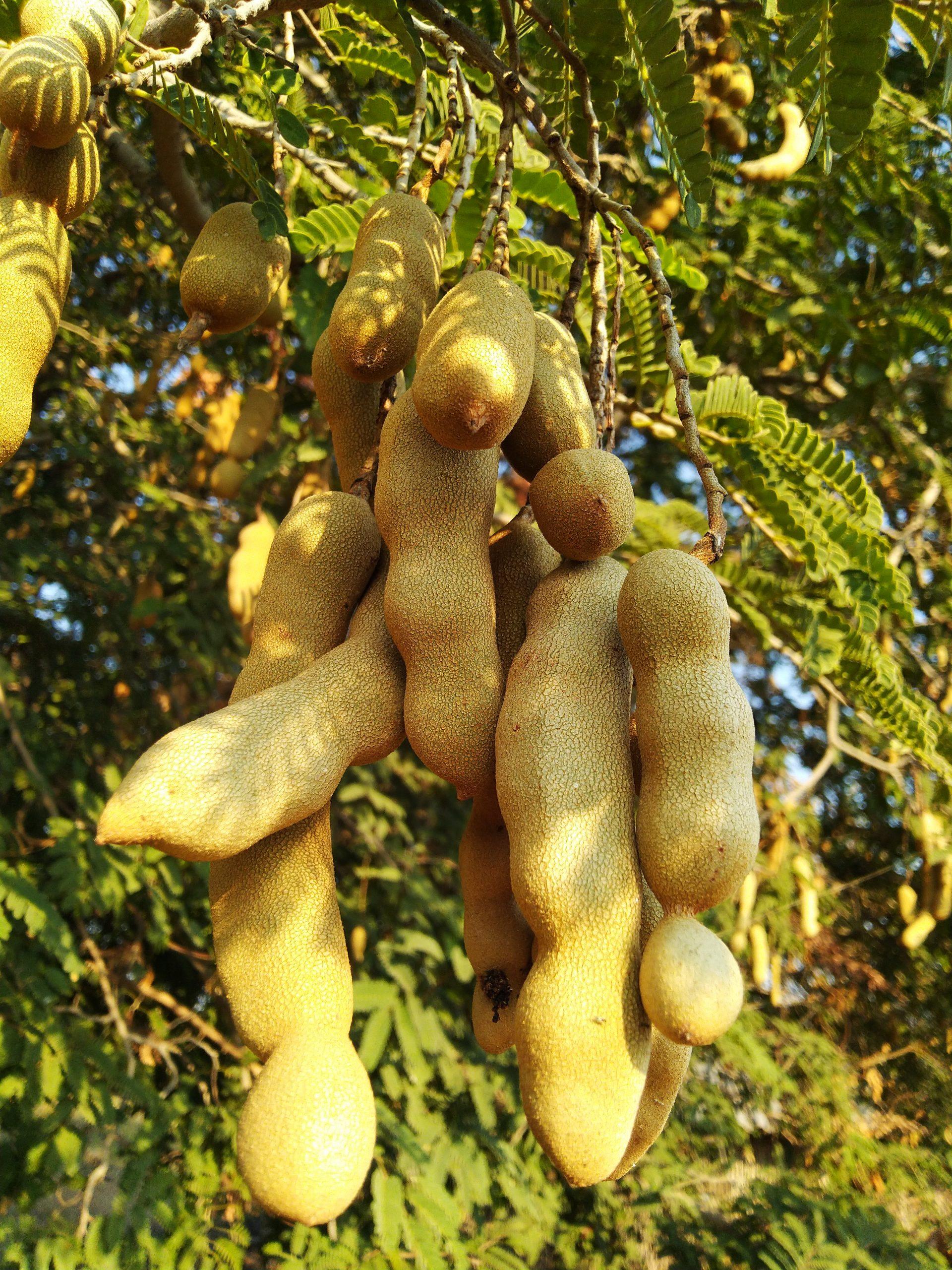 tamarind on the tree