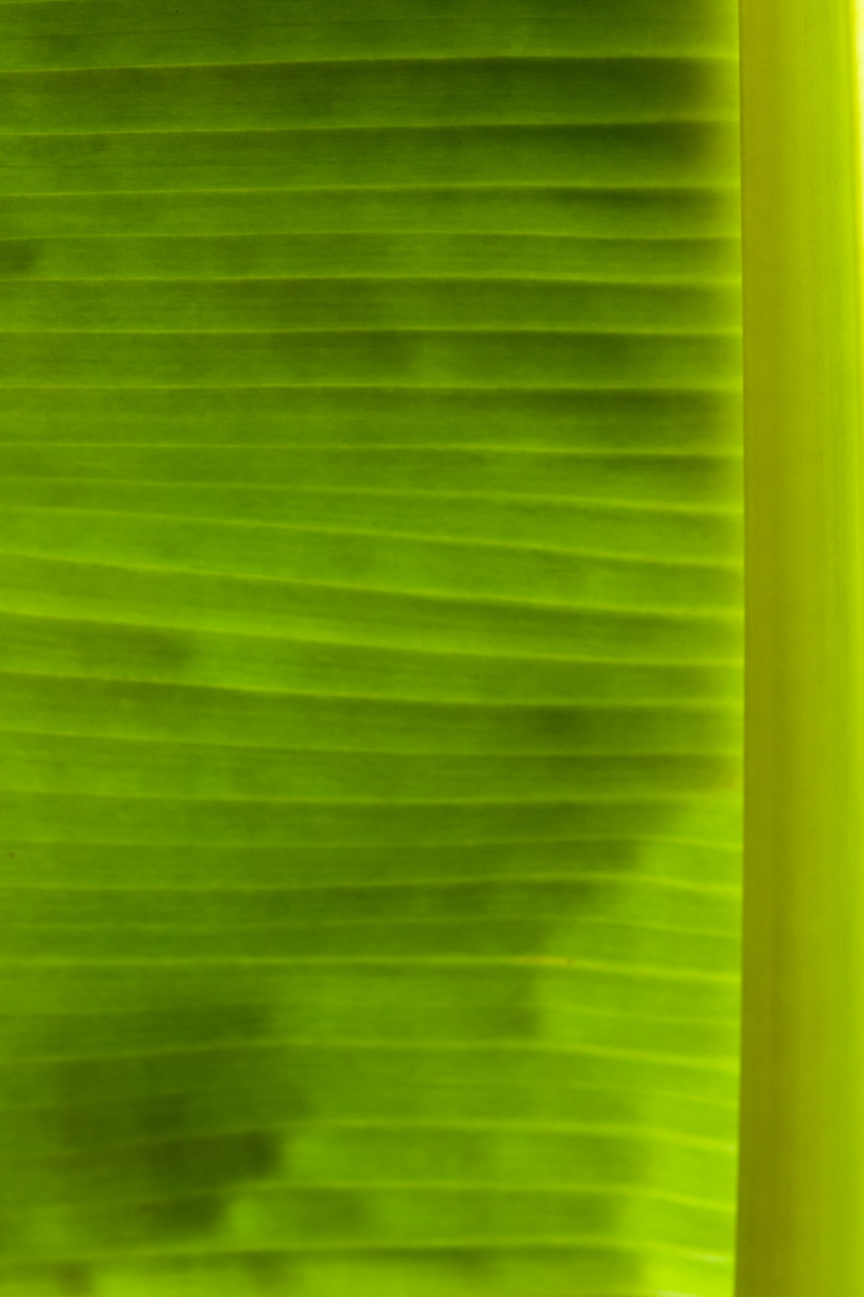 segment of banana leaf