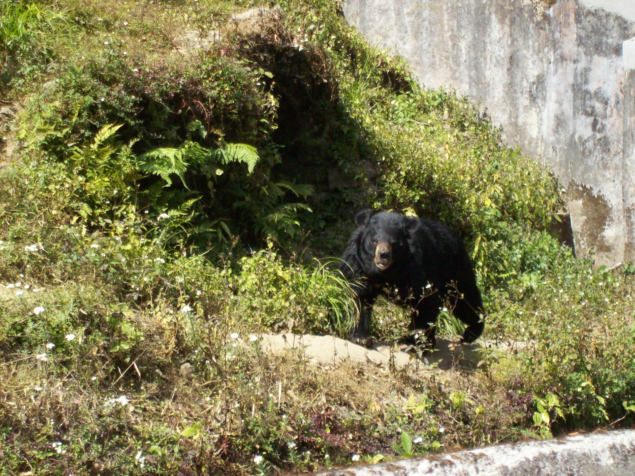 A bear at Darjeeling Zoo