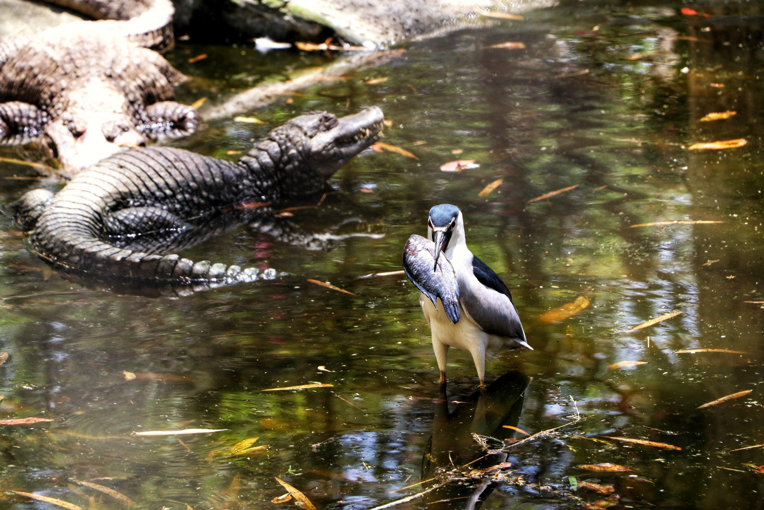 A bird and crocodiles in a pond