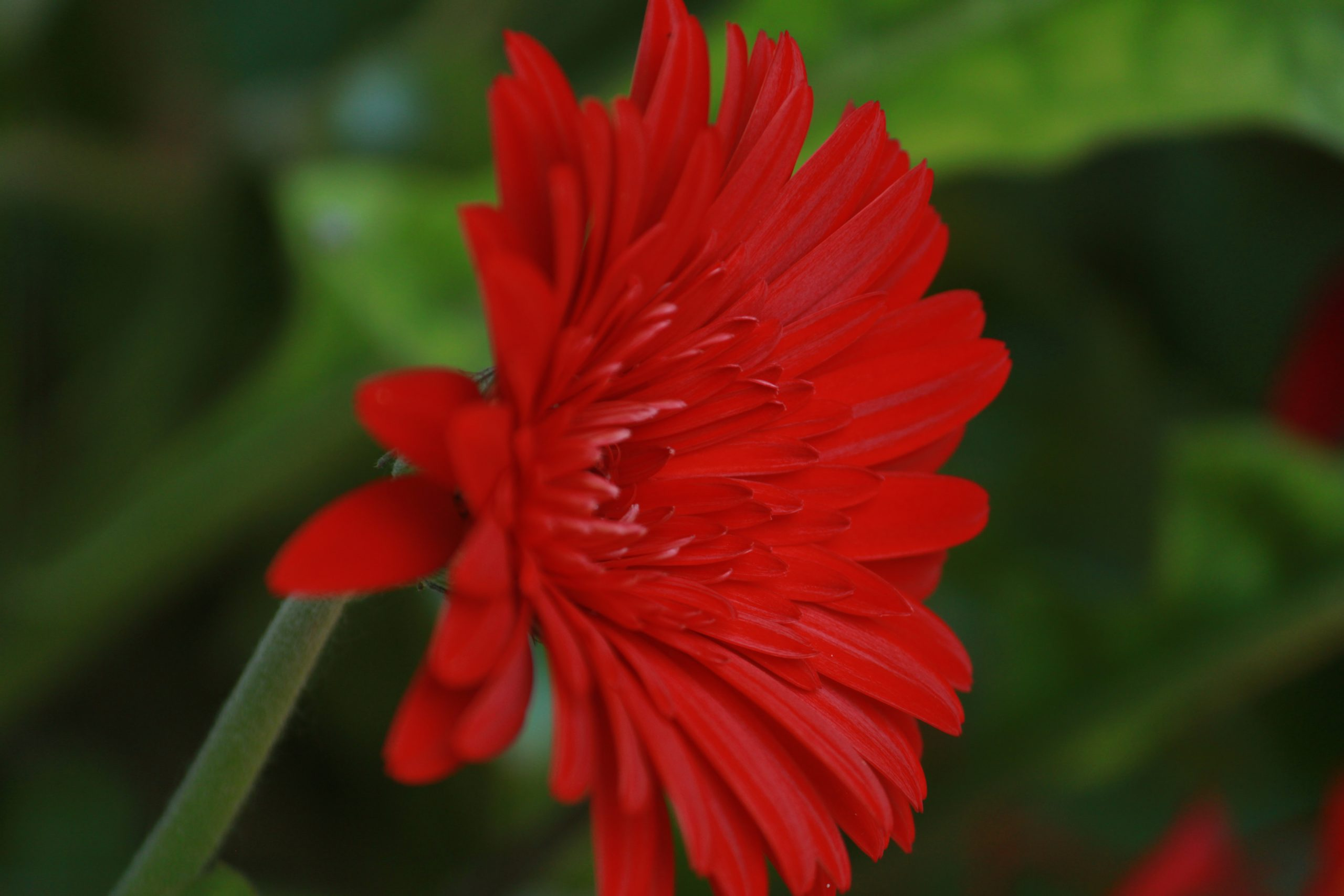 Blooming Red Daisy