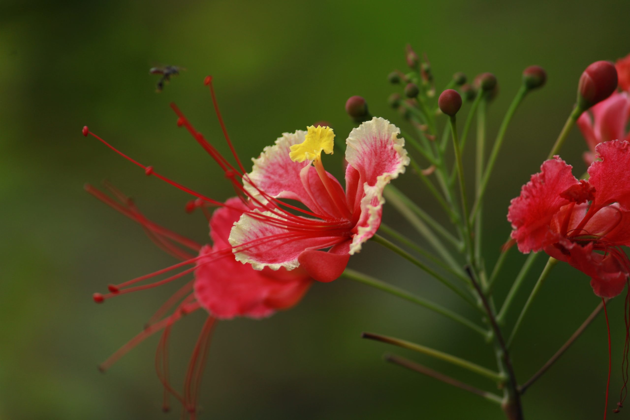 Blooming Red Hibiscus