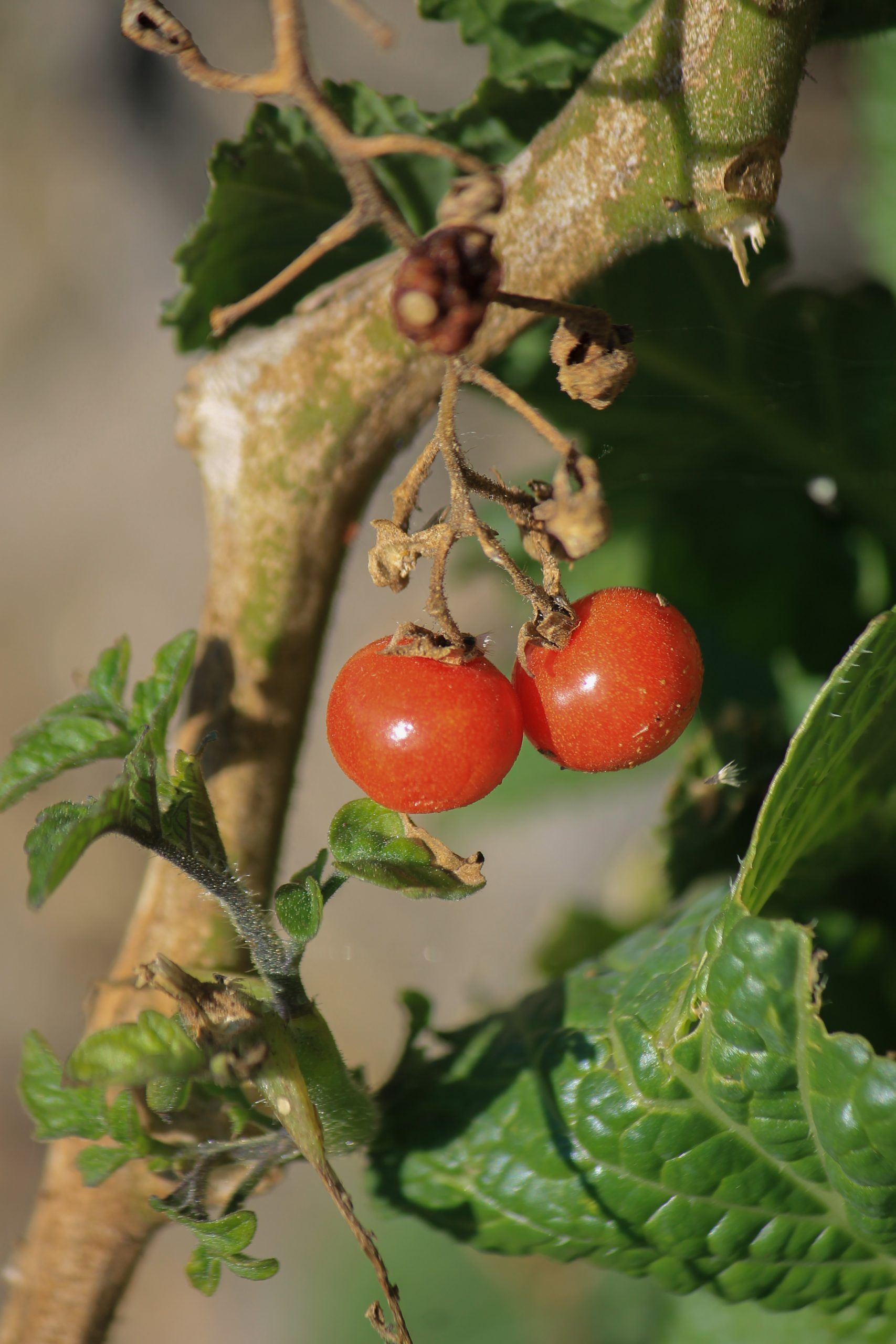 tomatoes on a plant