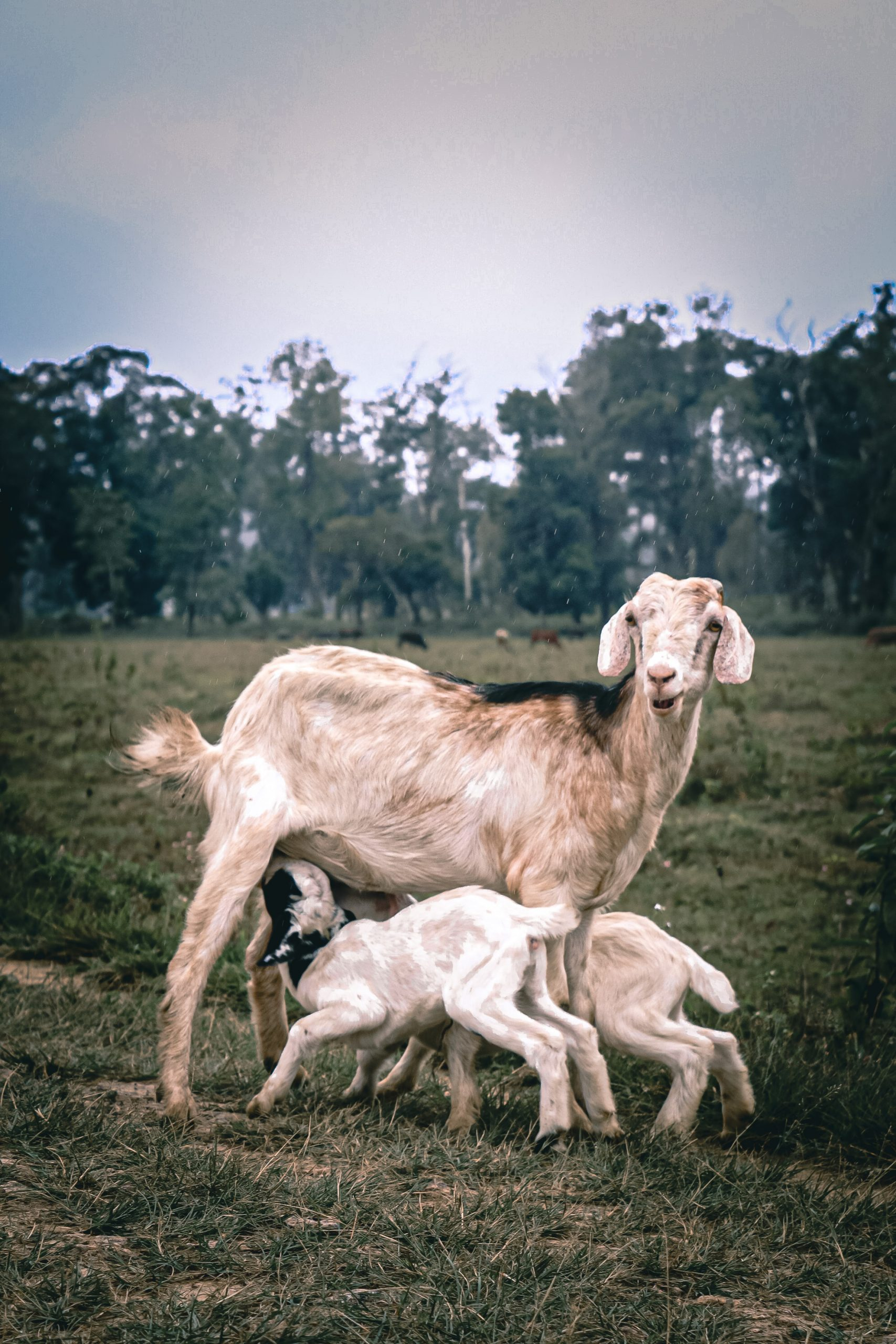 goat with babies