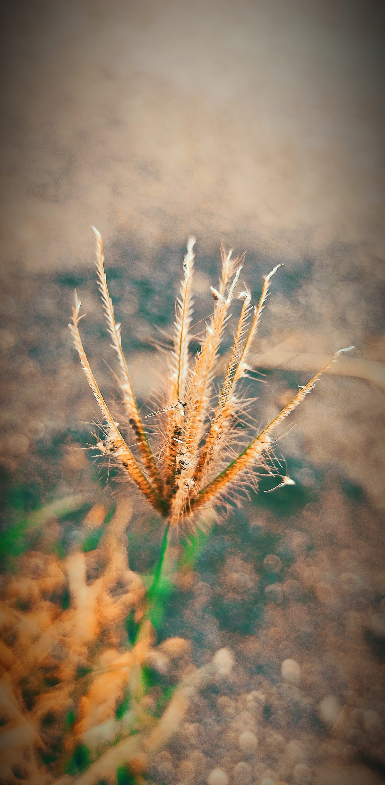 Chloris virgata grass species