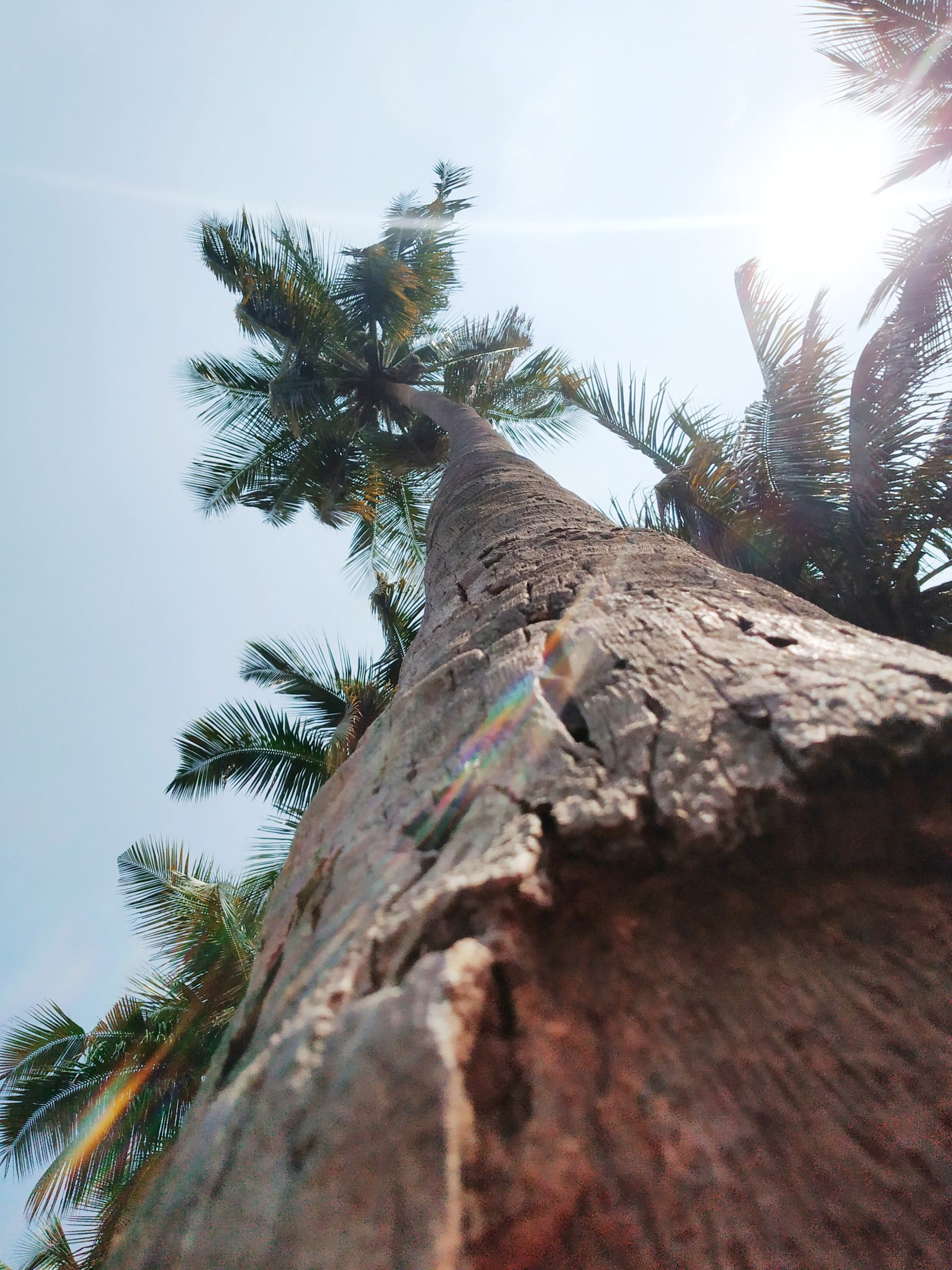 Coconut tree trunk