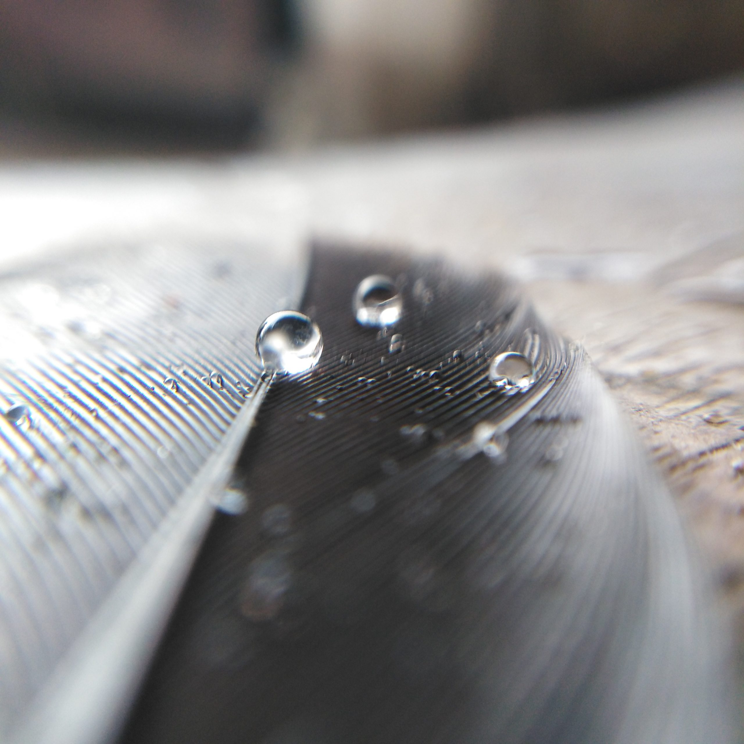Water drops on feather