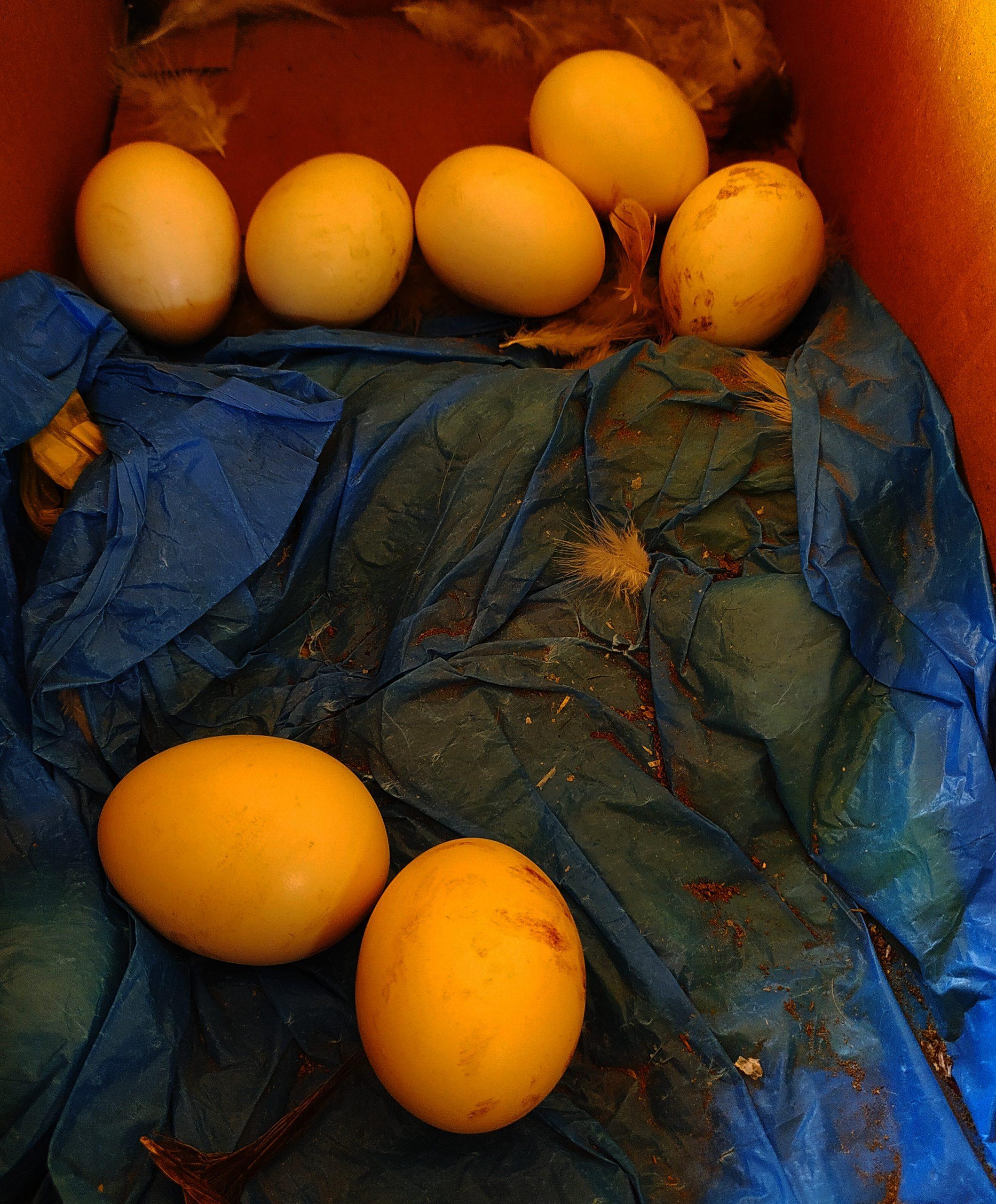 Eggs of an bird