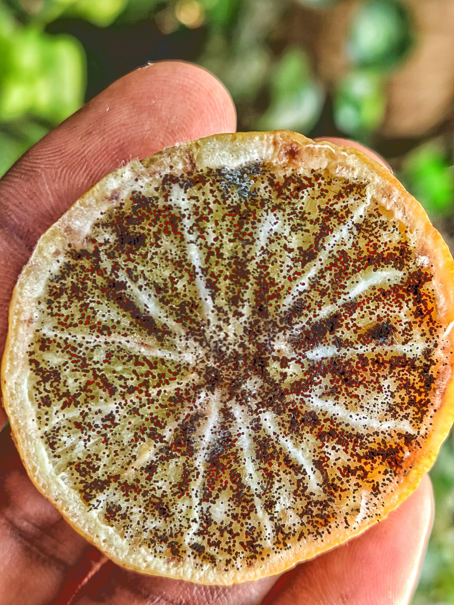 A faded lemon