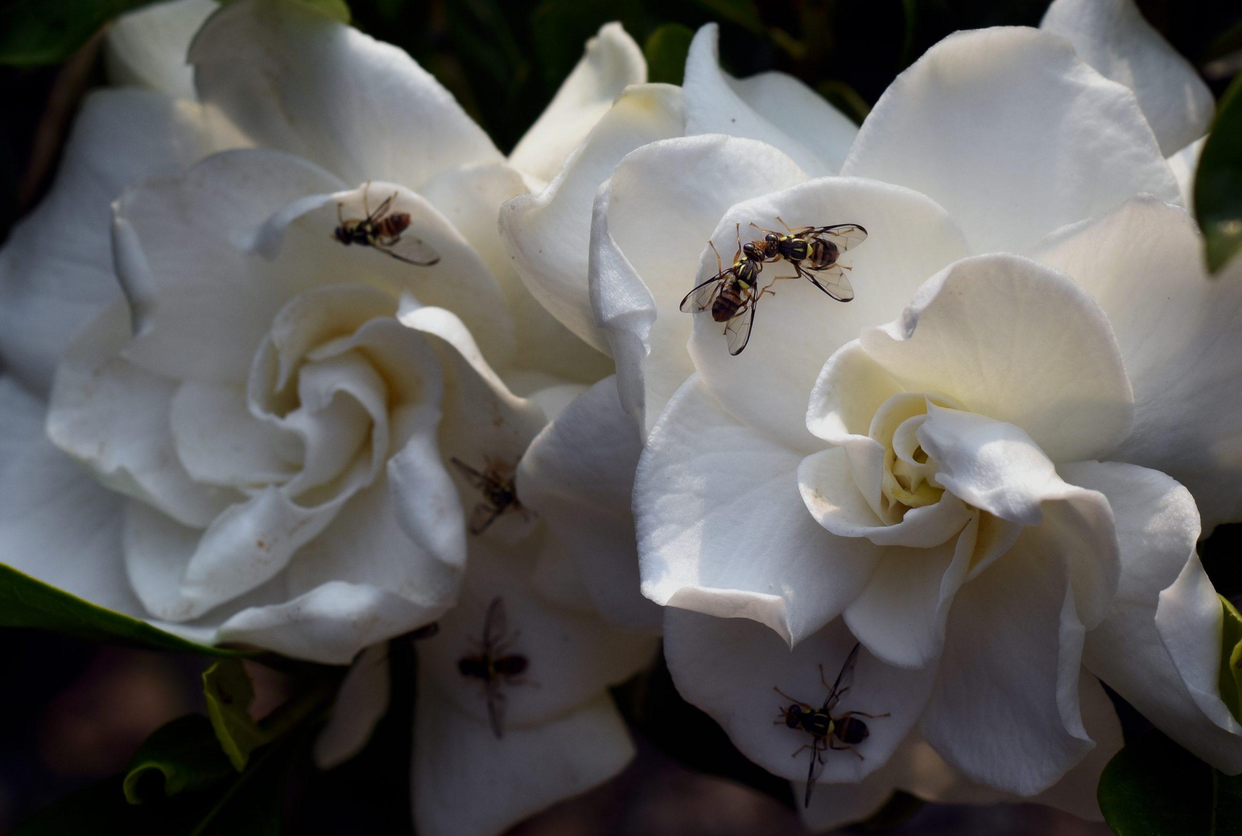 Flies on white flowers