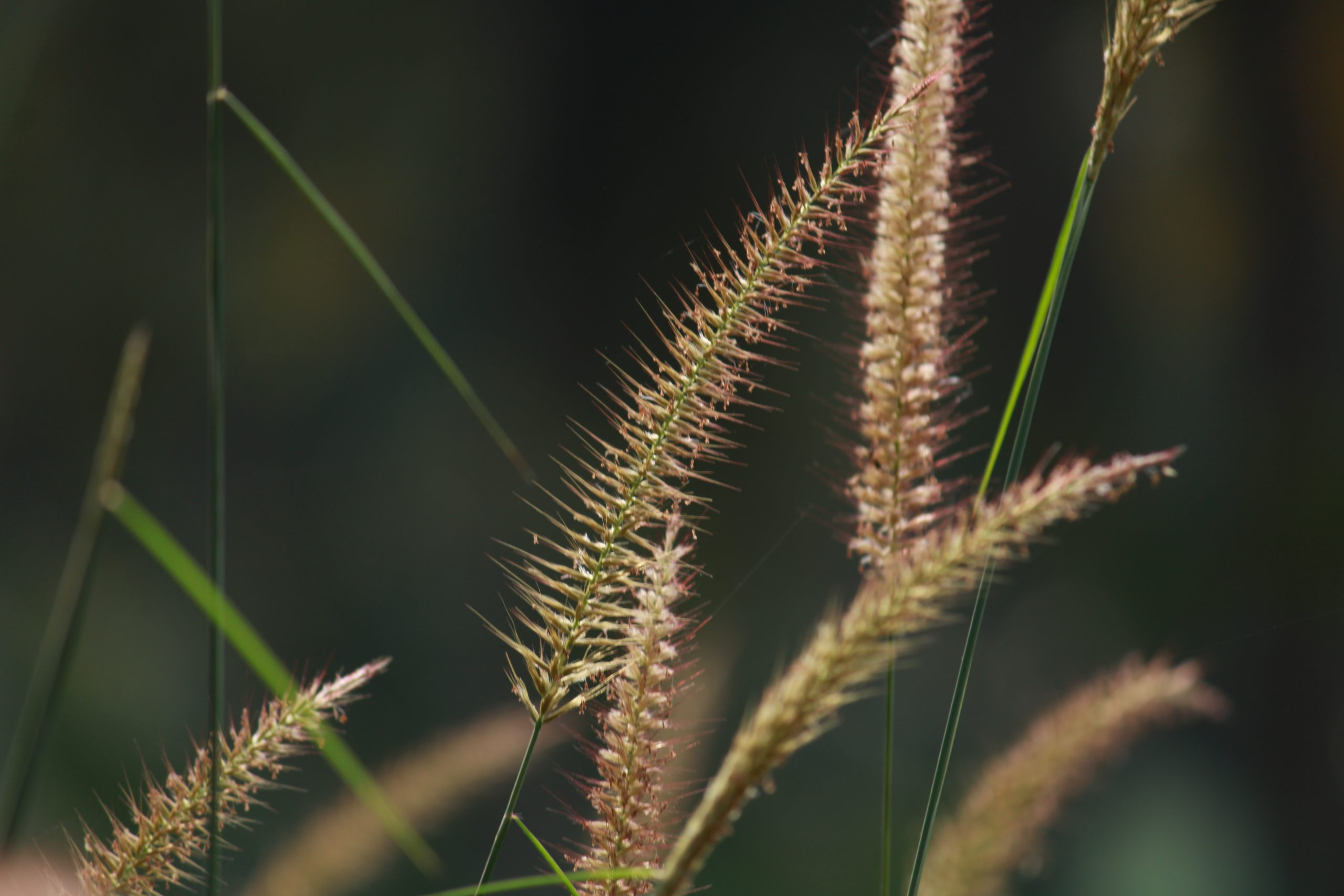 Flowers of grass plants