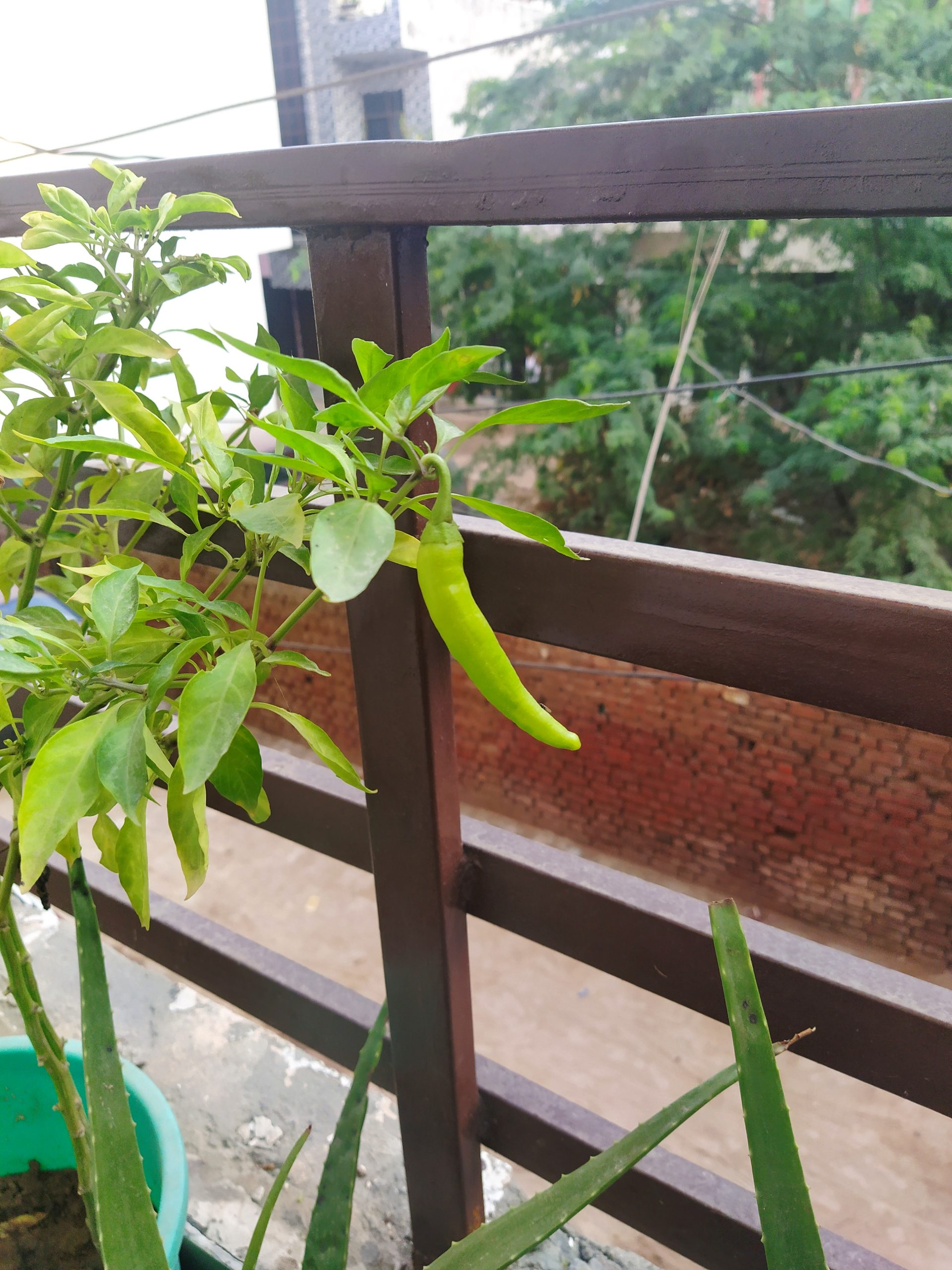 green chilly plant