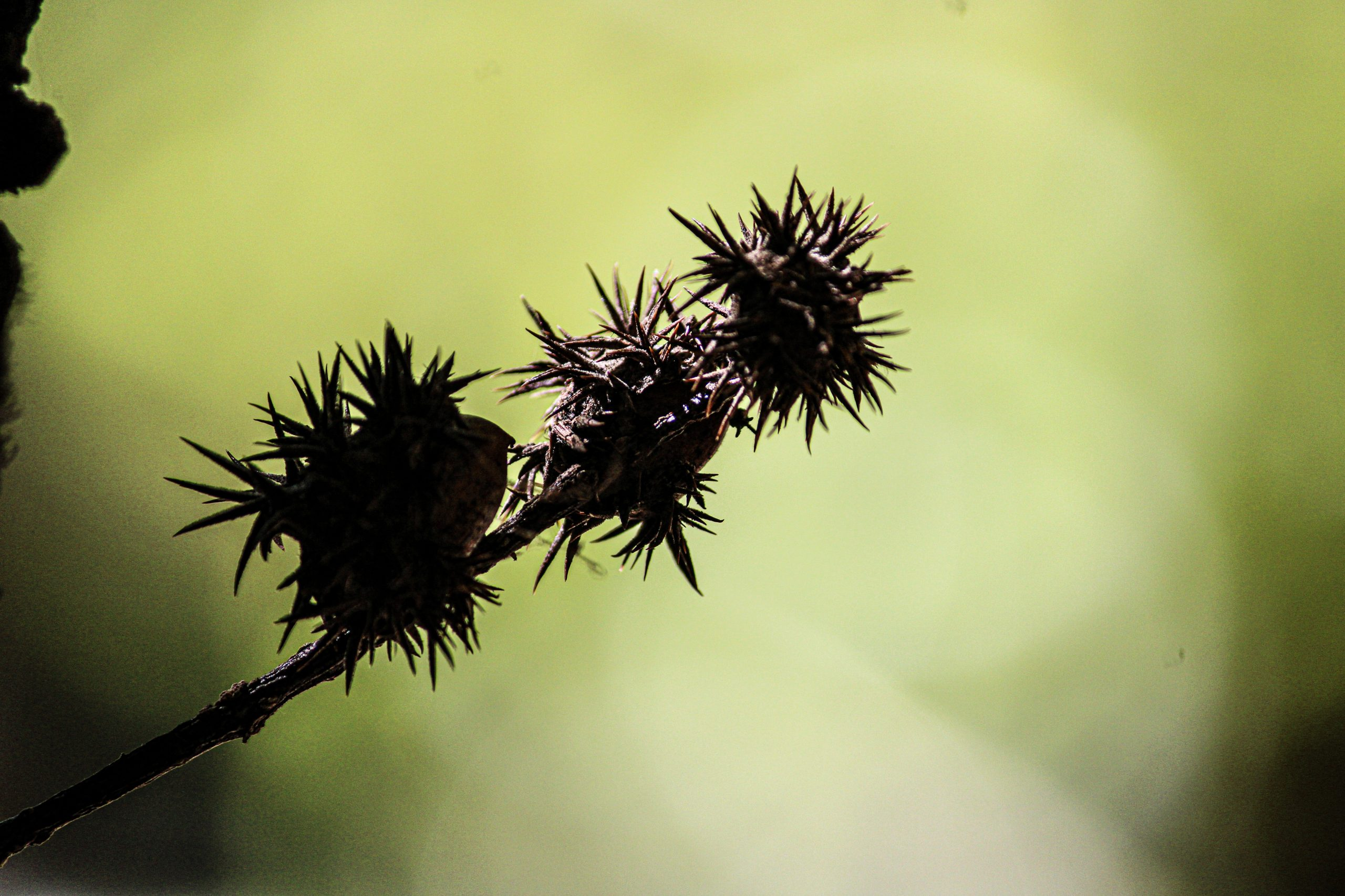 Thorny fruit of a plant