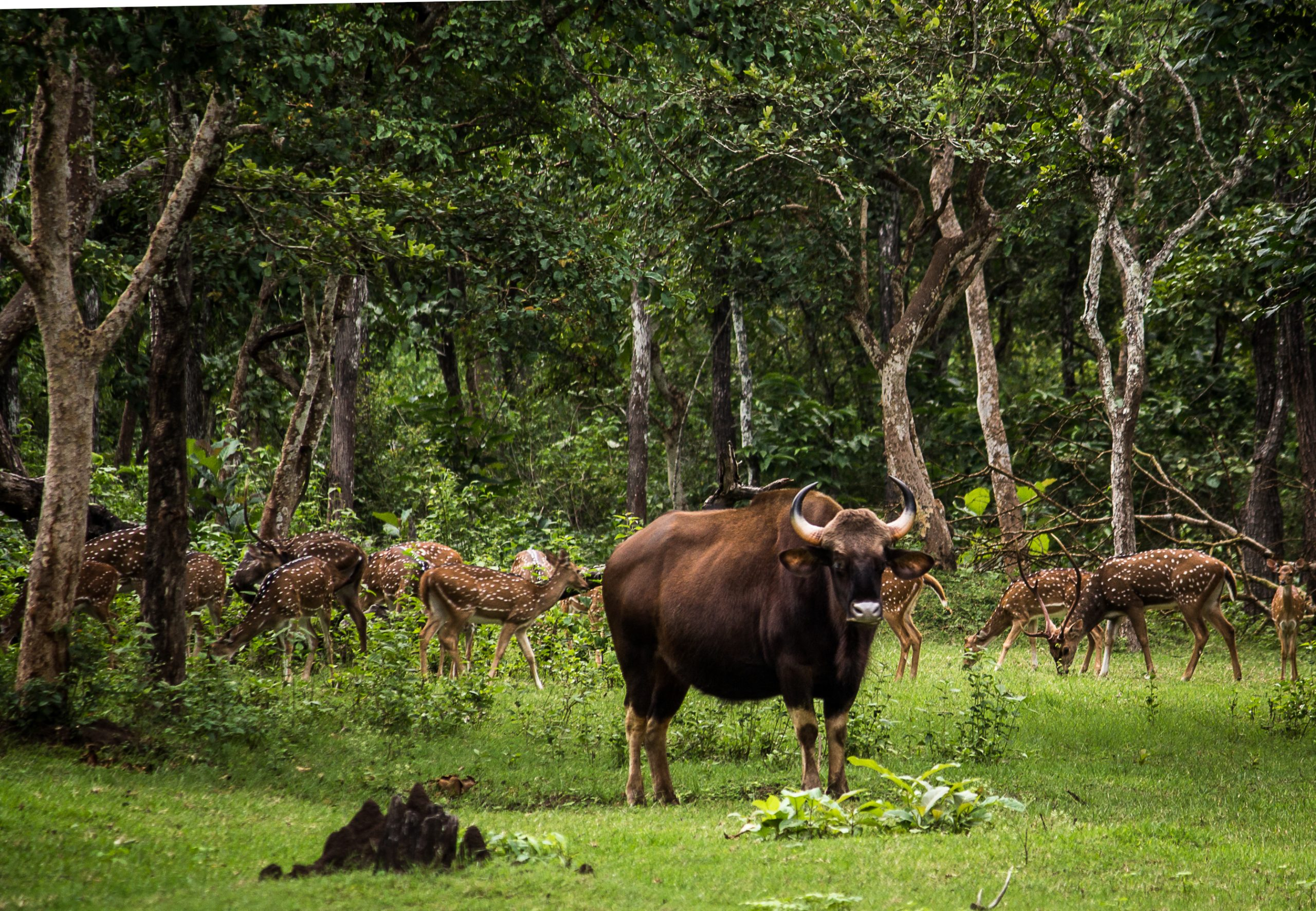 gaur and deers