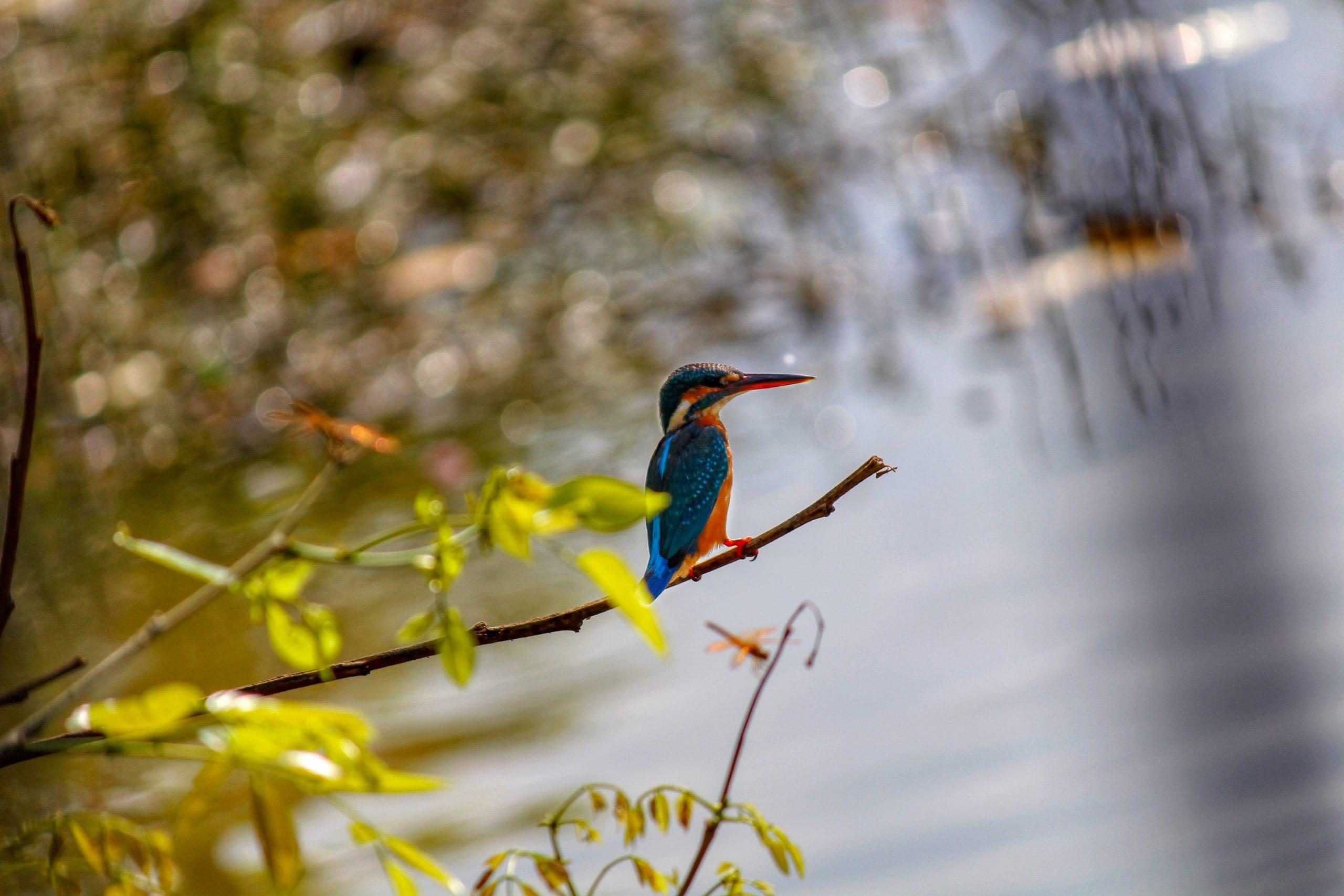 Kingfisher sitting on tree