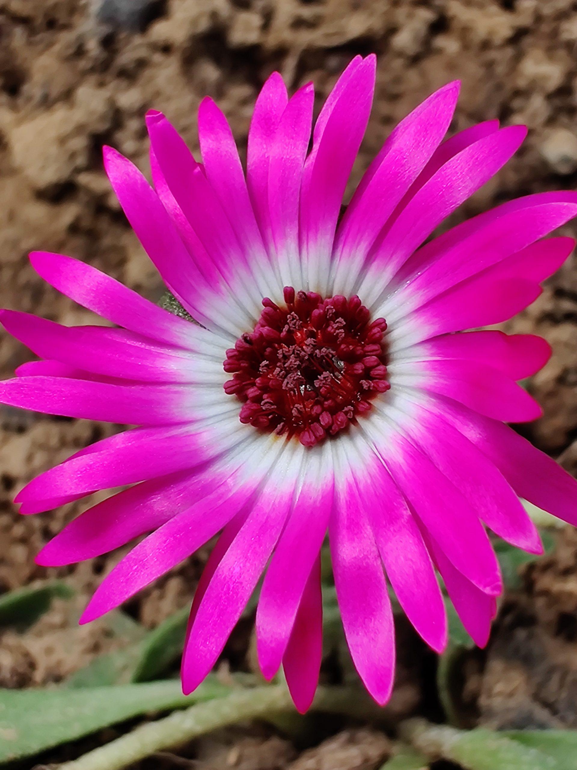 Livingstone Daisy Close-up