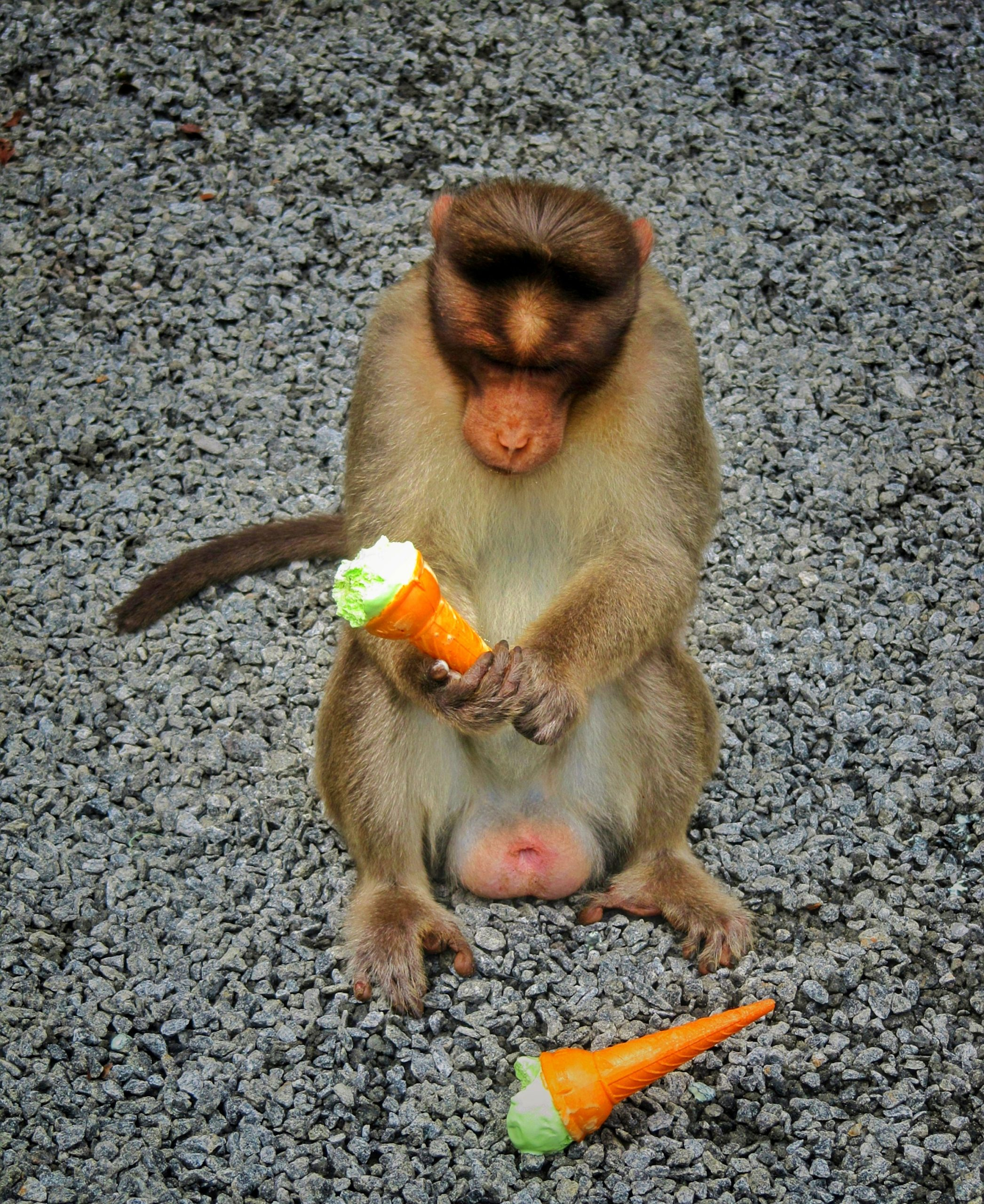 Monkey holding ice cream