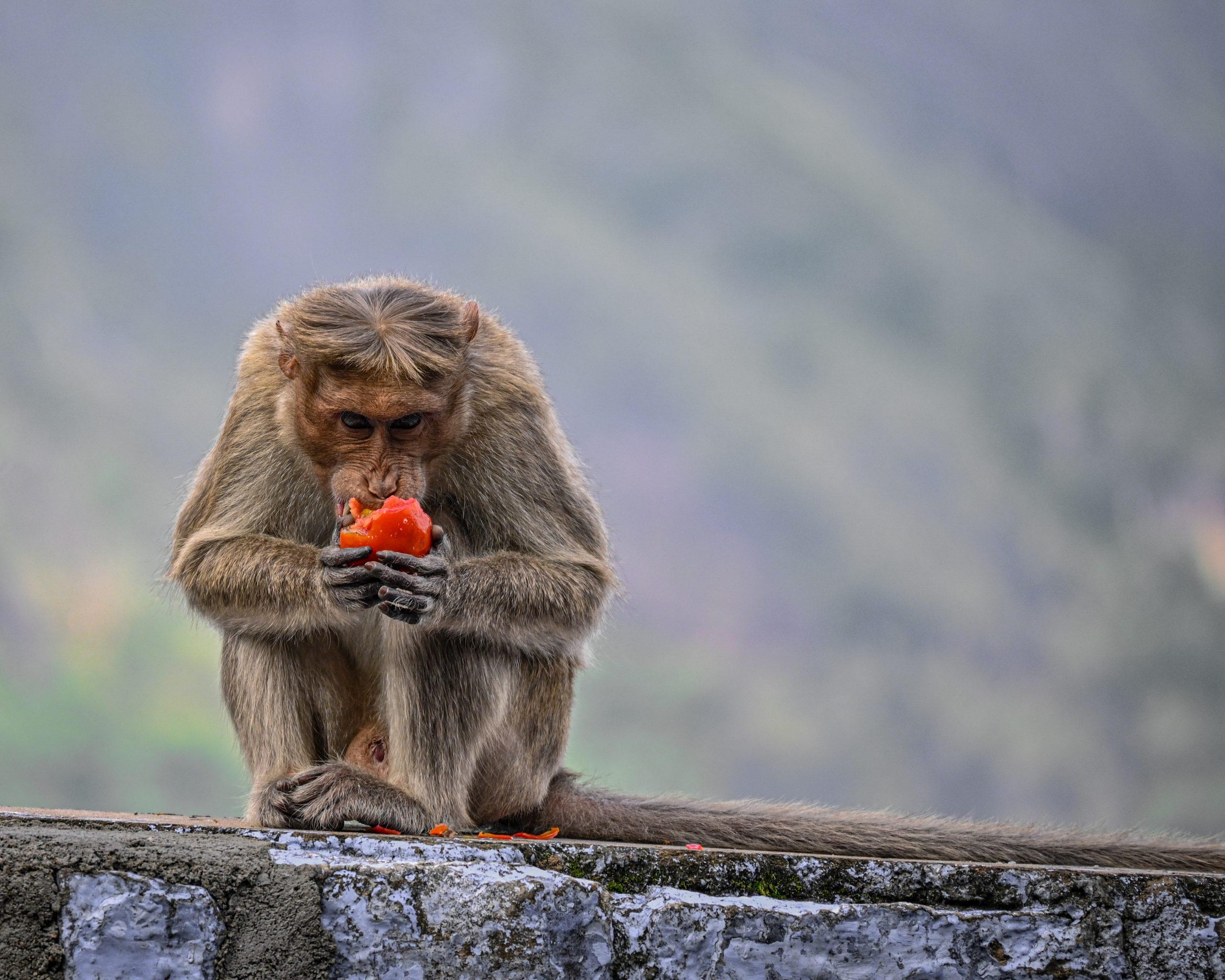 monkey eating tomato